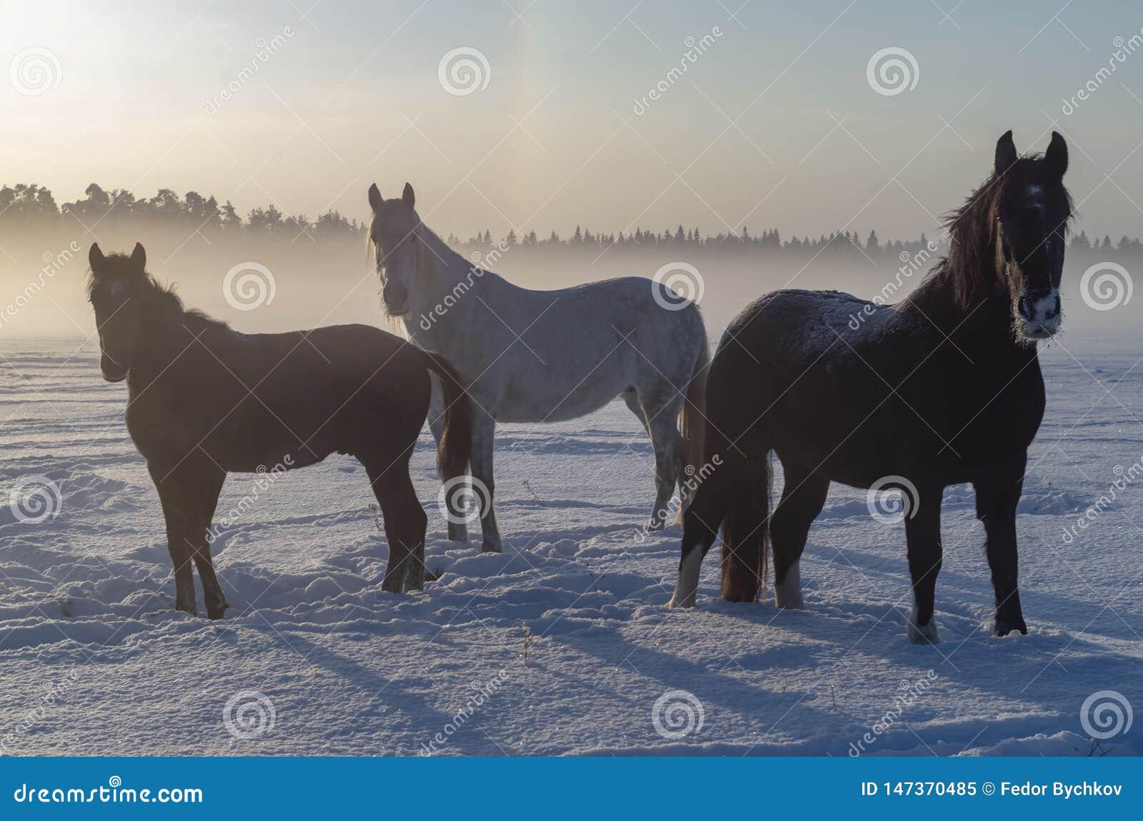 Tre cavalli nella nebbia di inverno Un breve giorno nordico