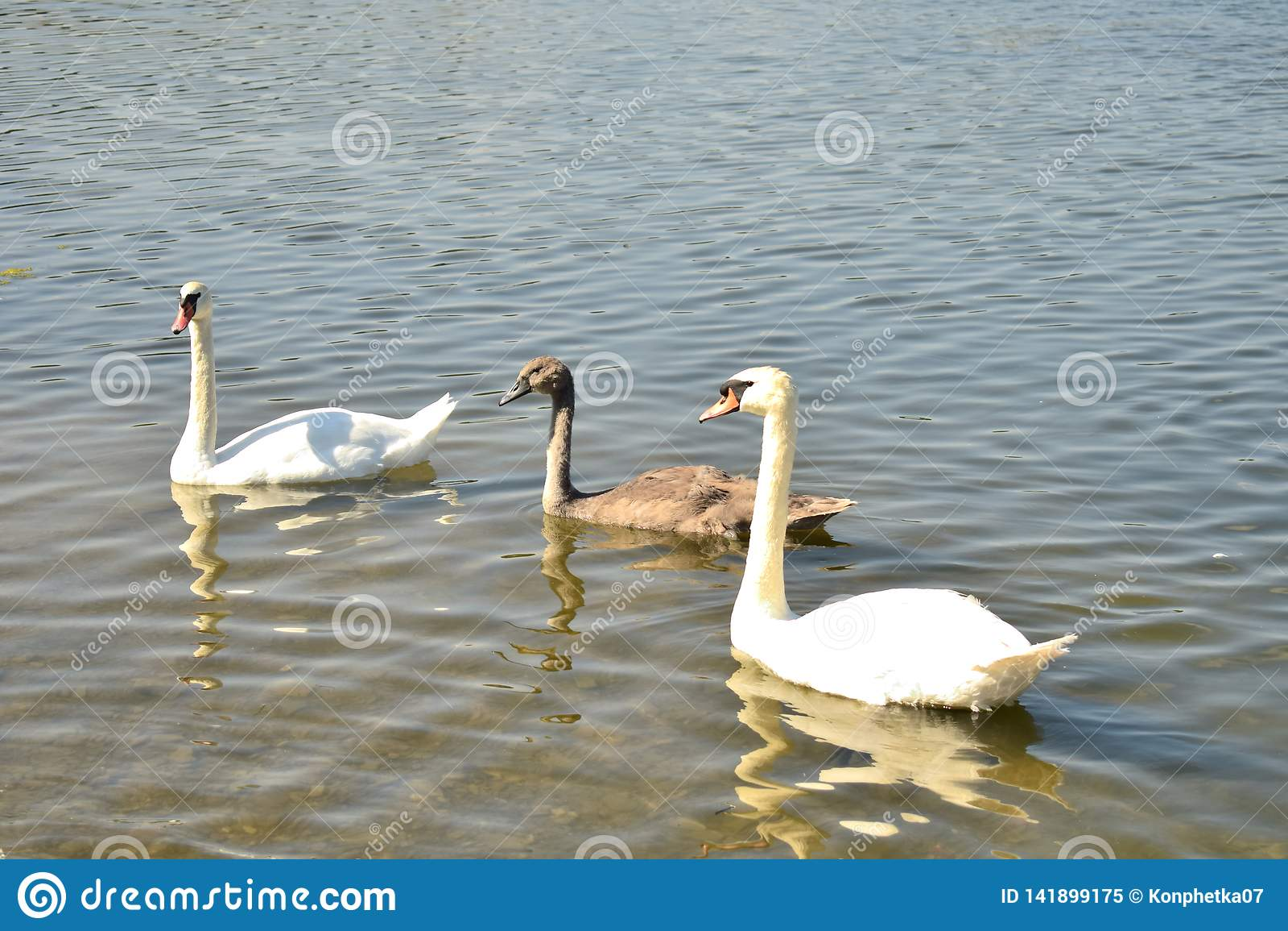 Tre cigni sul lago