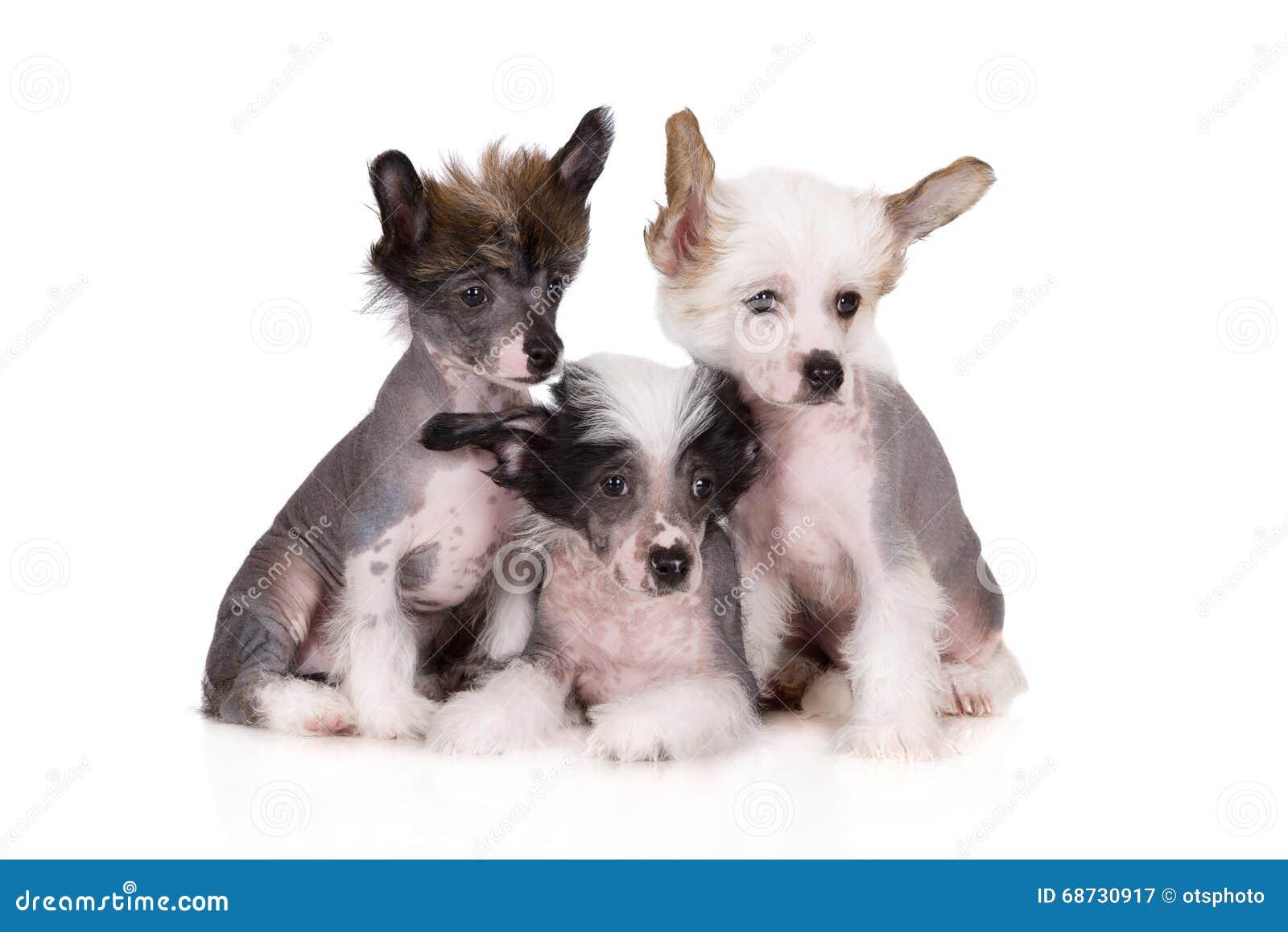 Tre cuccioli crestati cinesi su bianco