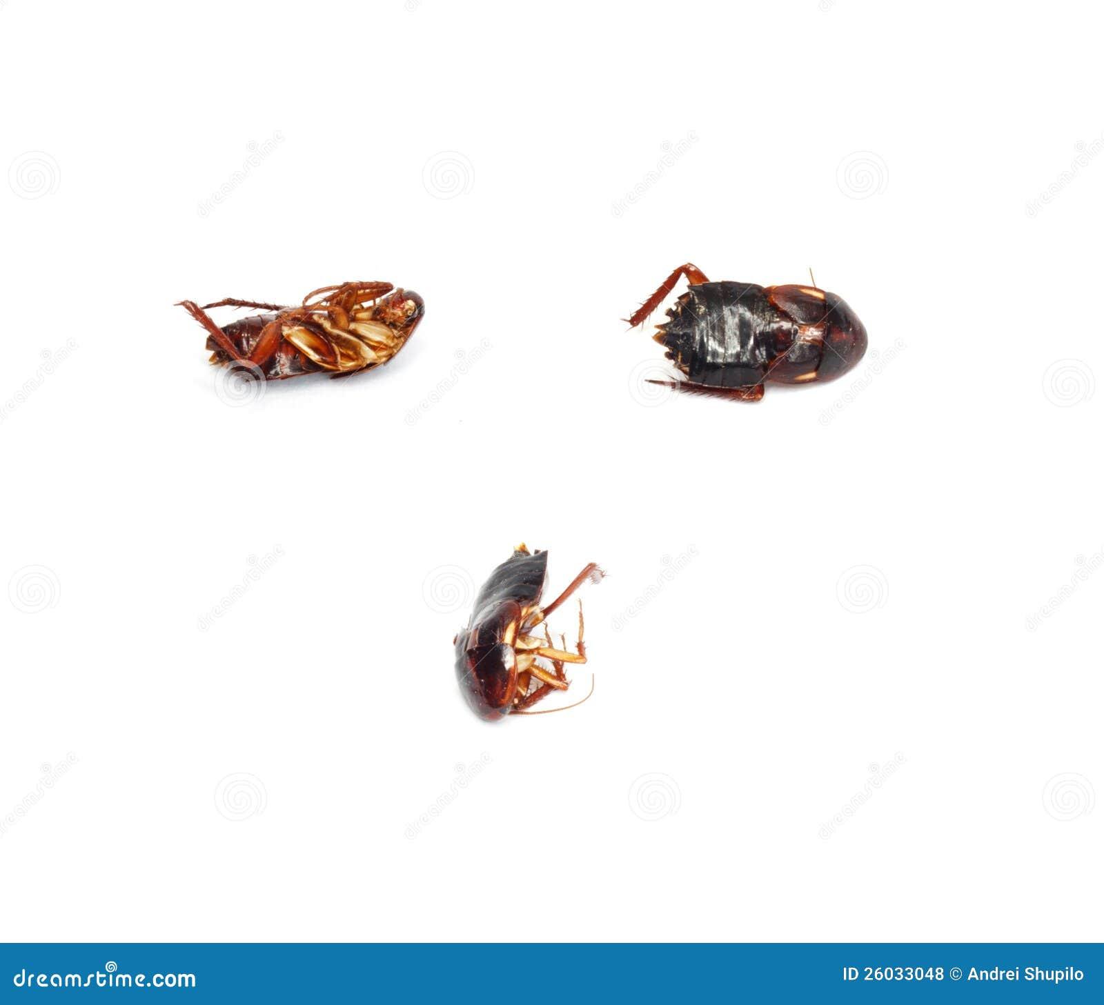 kackerlacka döda