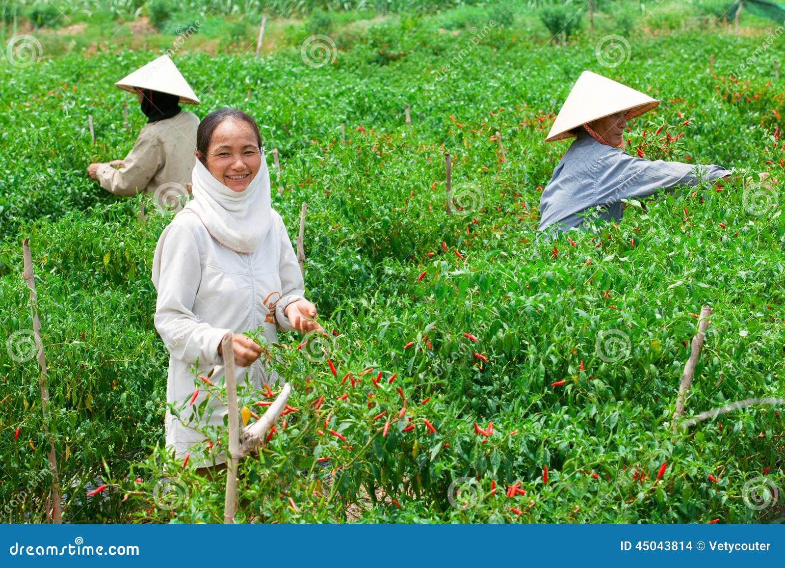 Tre donne agricole che selezionano i peperoni