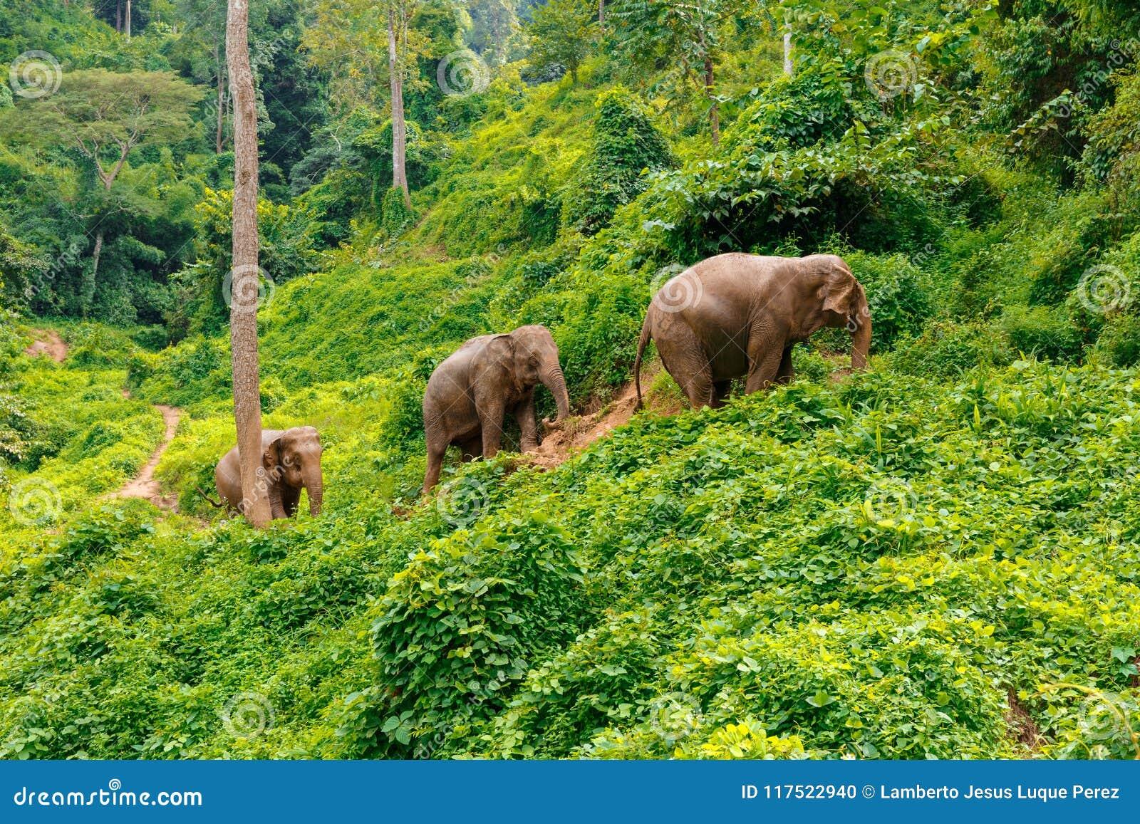 Tre elefanter går på djungeln i Chiang Mai Thailand