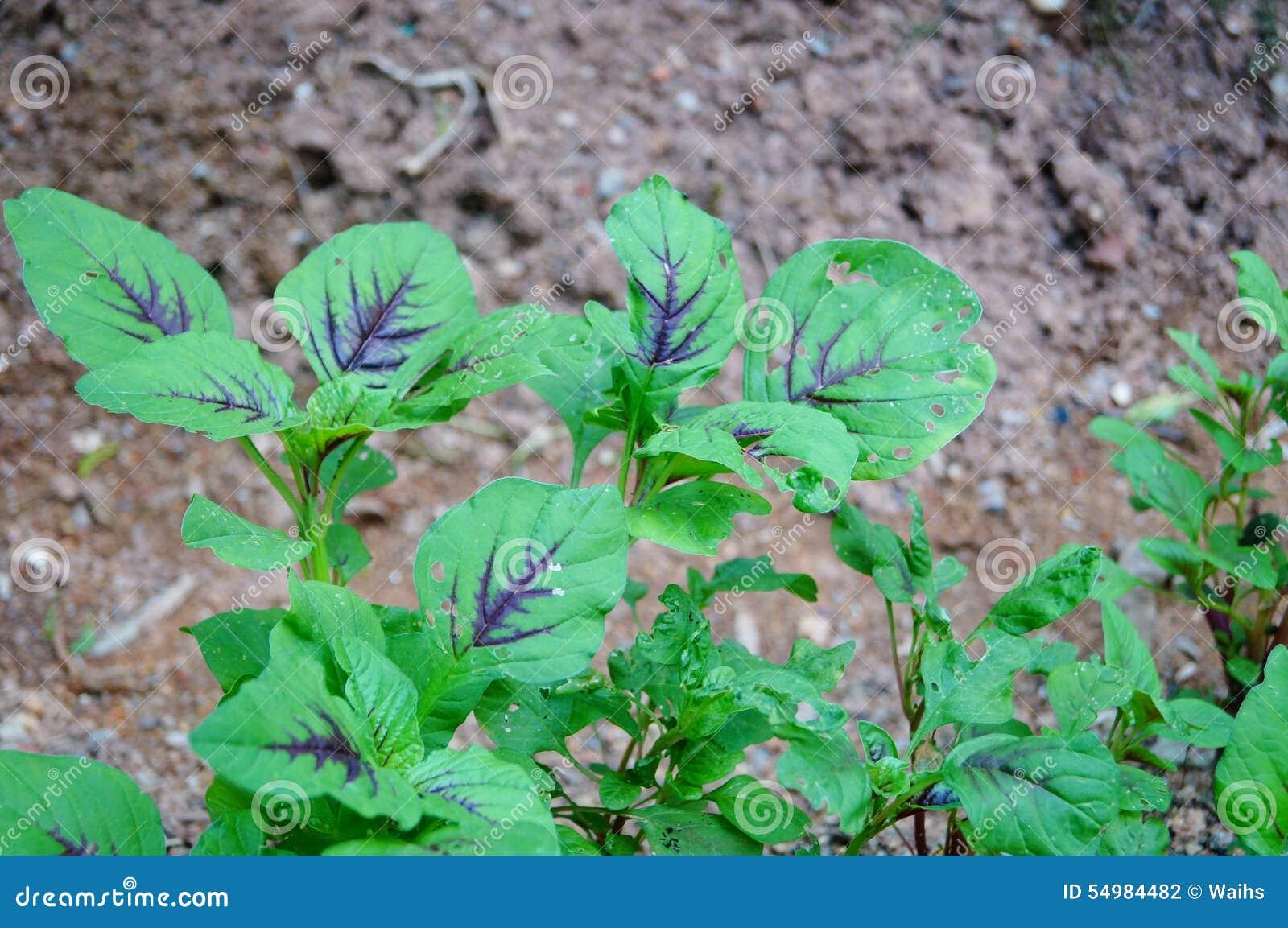 Tre-färgad amaranth