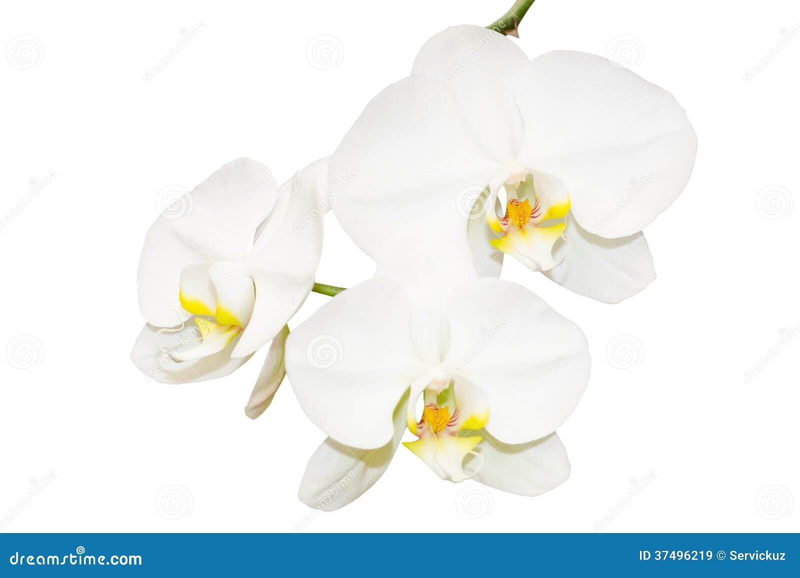 Fiori Orchidea Bianchi.Tre Fiori Bianchi Delle Orchidee Immagine Stock Immagine Di