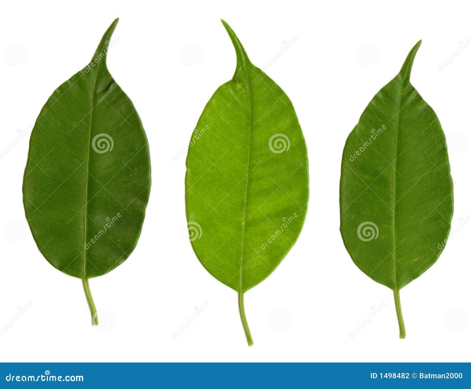 Tre fogli verdi