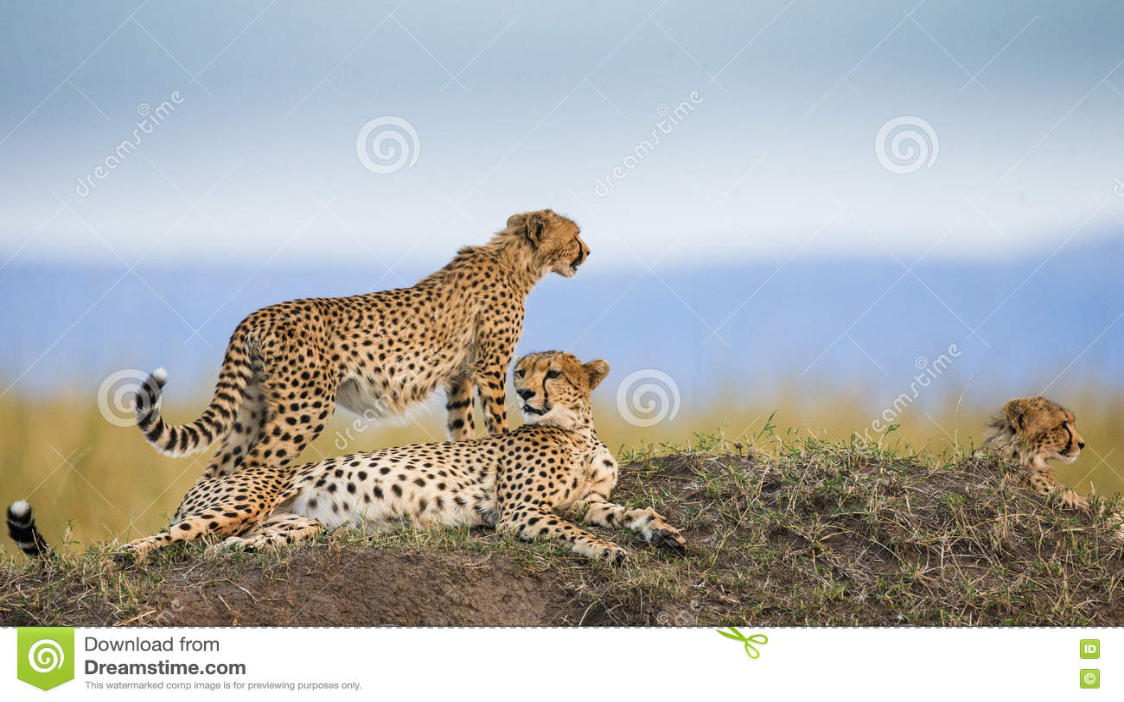 Tre geparder i savannahen kenya tanzania _ Chiang Mai serengeti Maasai Mara
