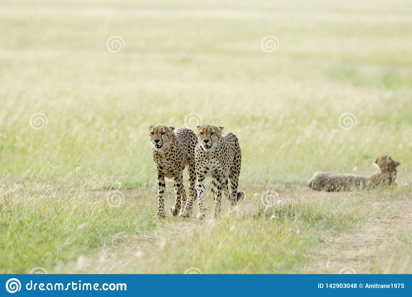 Tre ghepardi ai masai Mara Game Reserve, Kenya