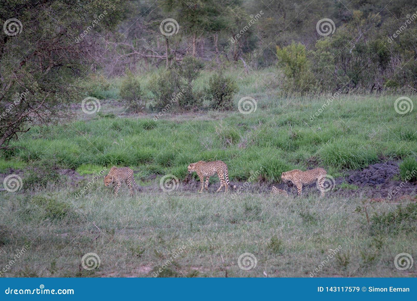 Tre ghepardi che camminano in una linea di drenaggio