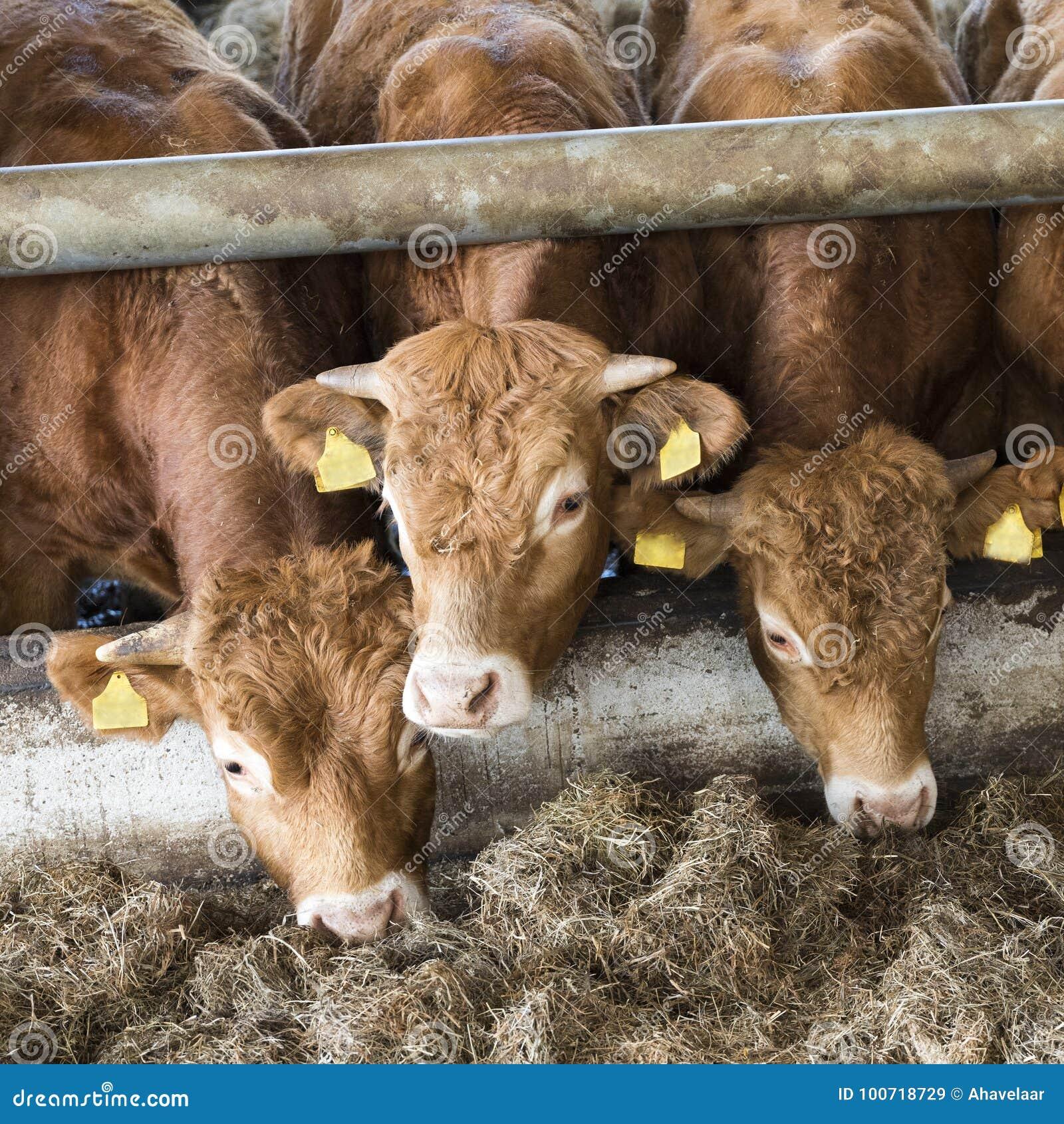 Tre giovani tori del Limousin alimentano il granaio interno sull azienda agricola organica nella h