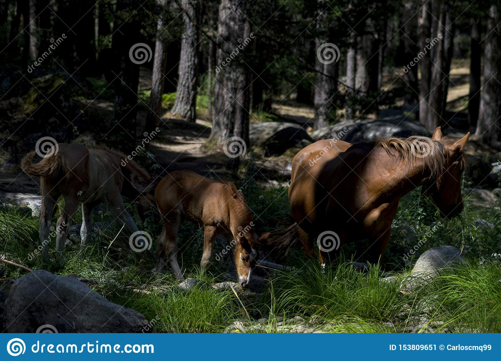 Tre grandi cavalli nella foresta