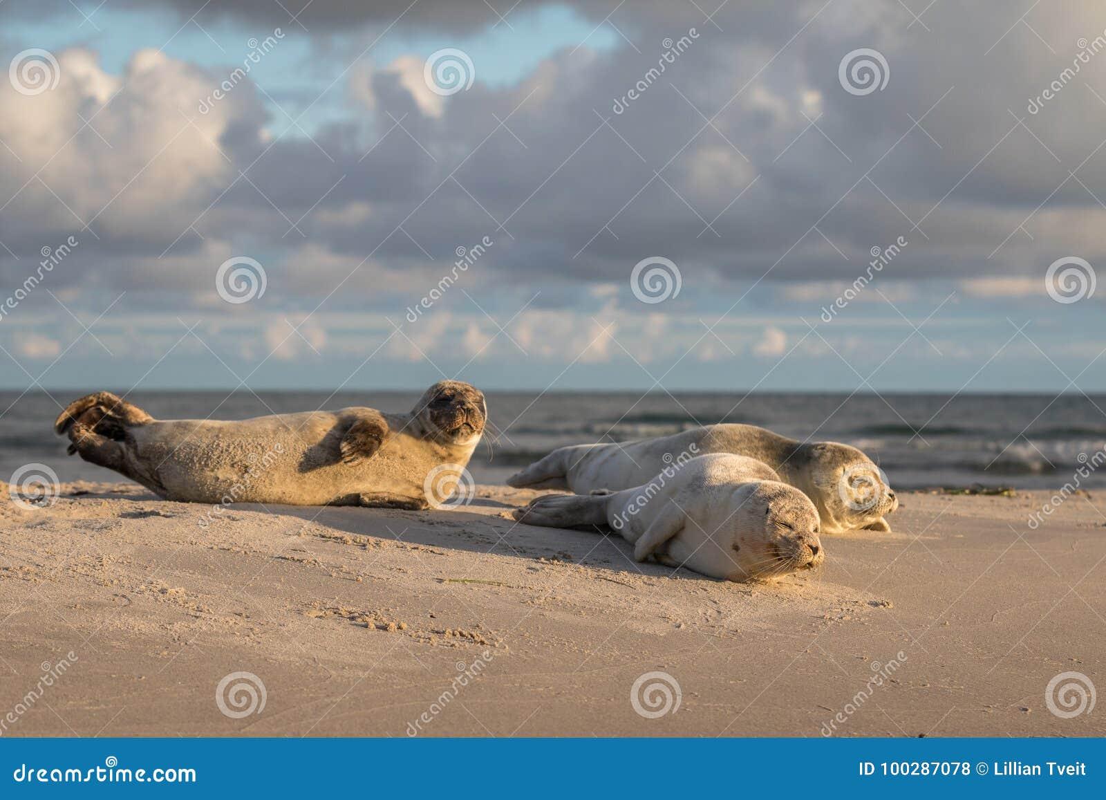 Tre hamnskyddsremsor, Phocavitulina som vilar på stranden Otta på Grenen, Danmark