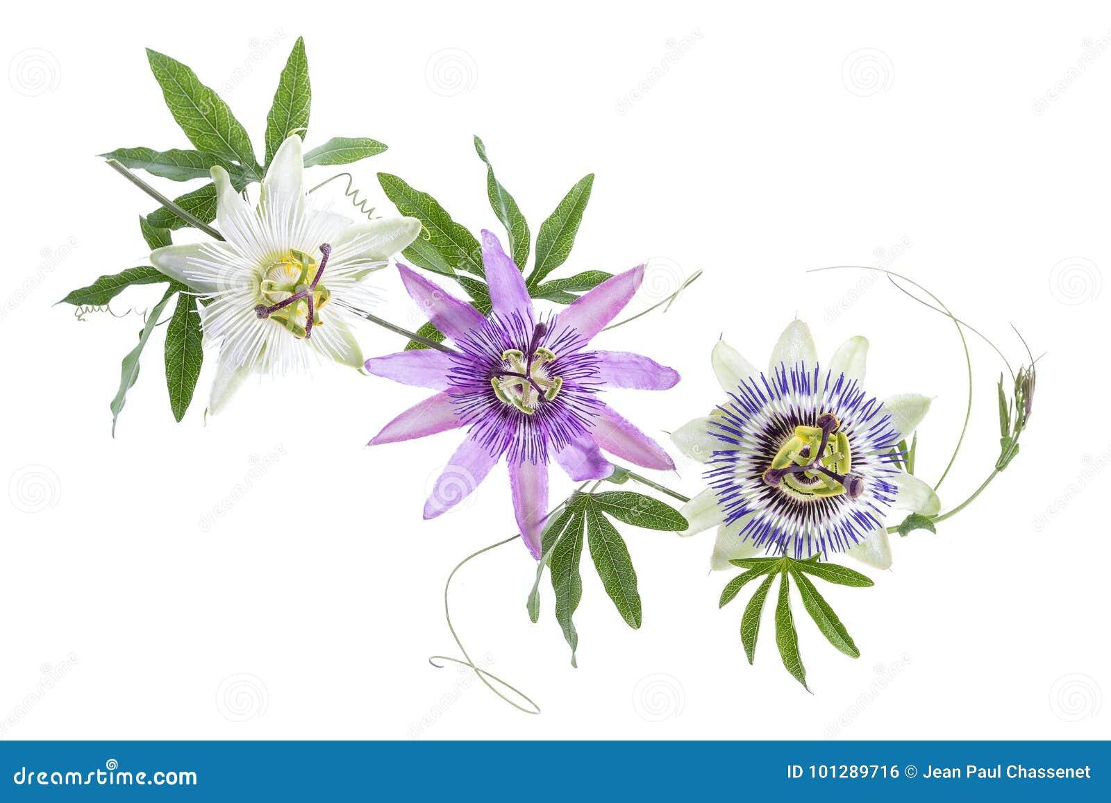 Tre hanno colorato il fiore di passione porpora, bianco, blu, appendere isolata su bianco