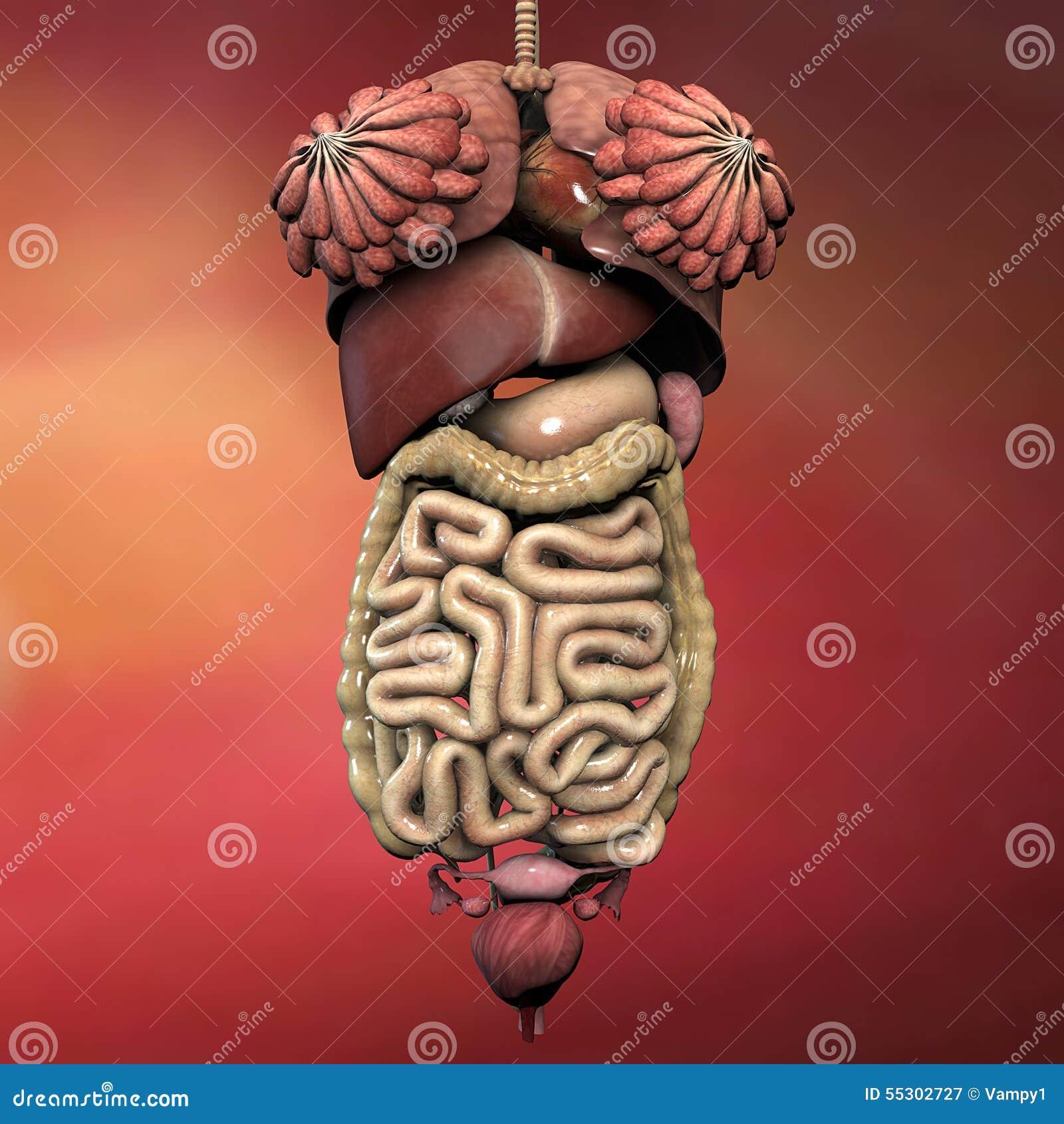 human pancreas location