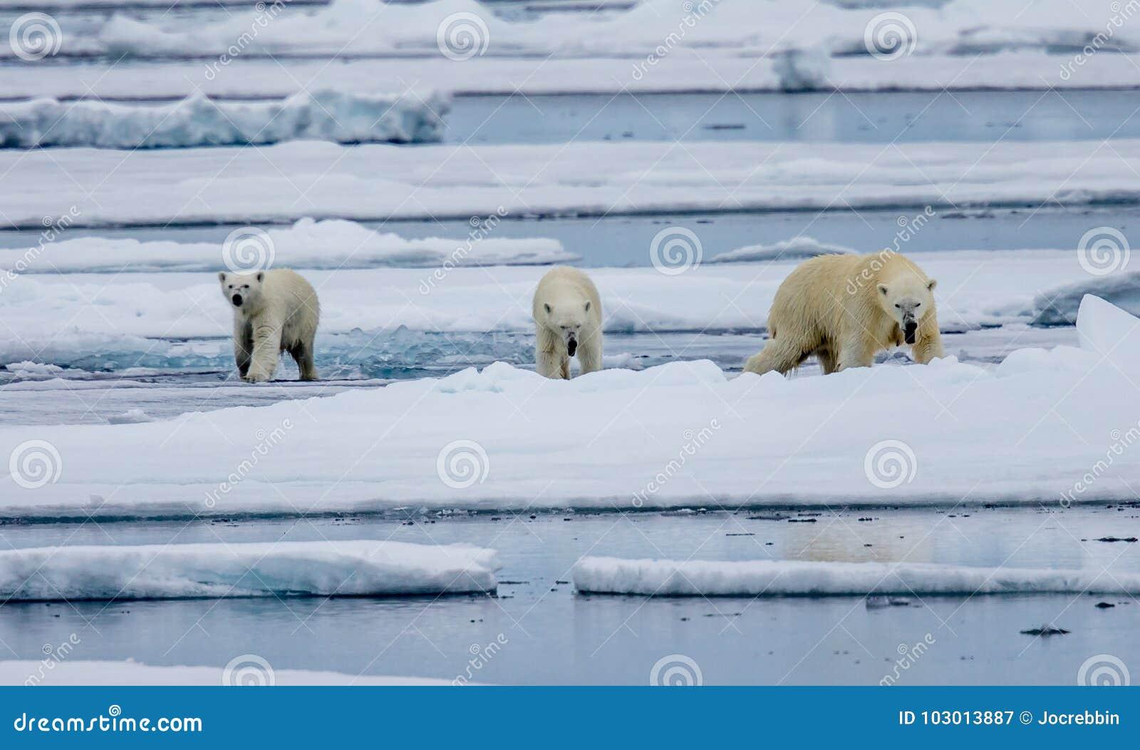 Tre isbjörnar, kvinnlig med två gröngölingar går på isisflak i arktisk