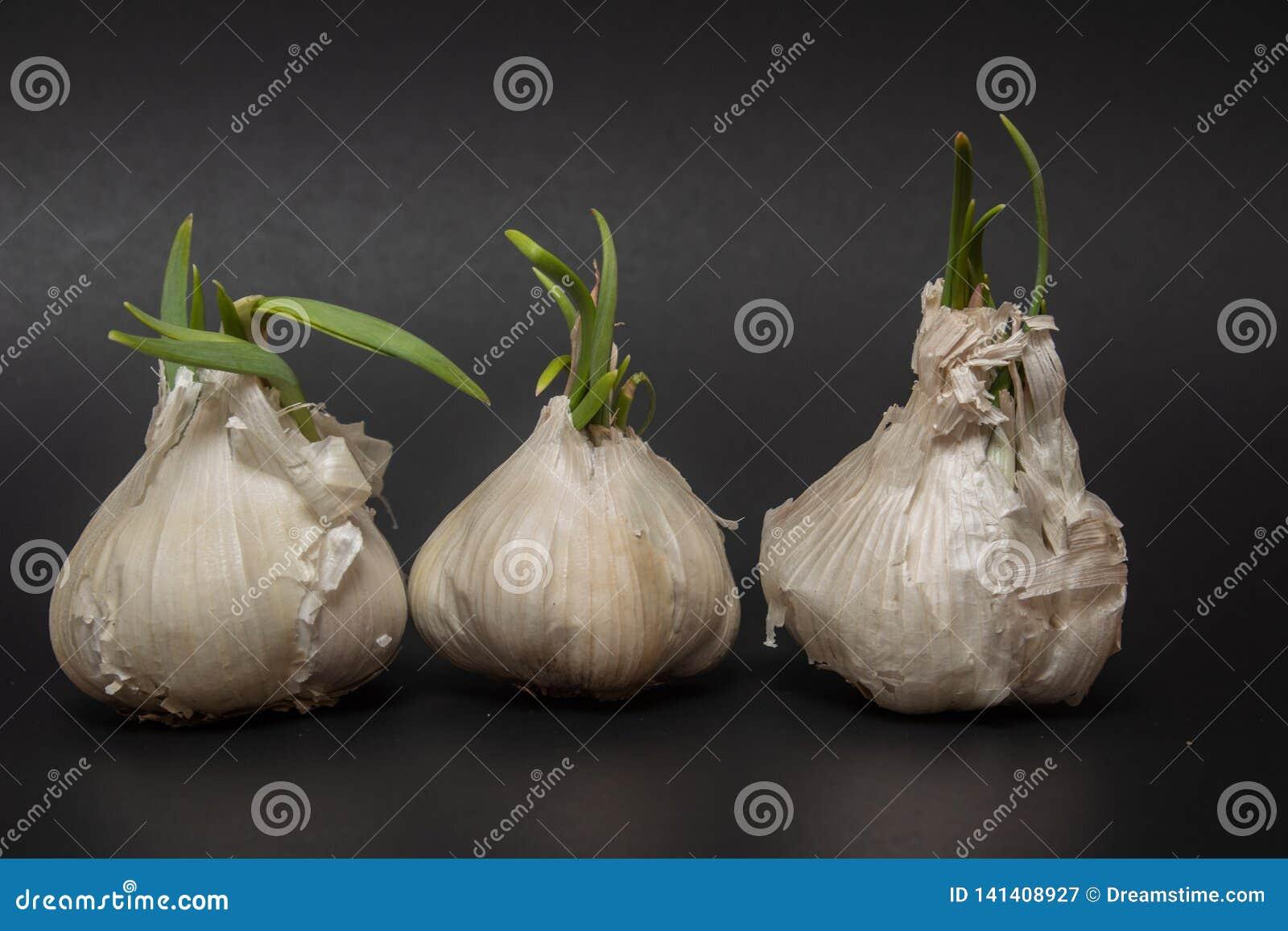 Tre kulor av att spira vitlök i rad