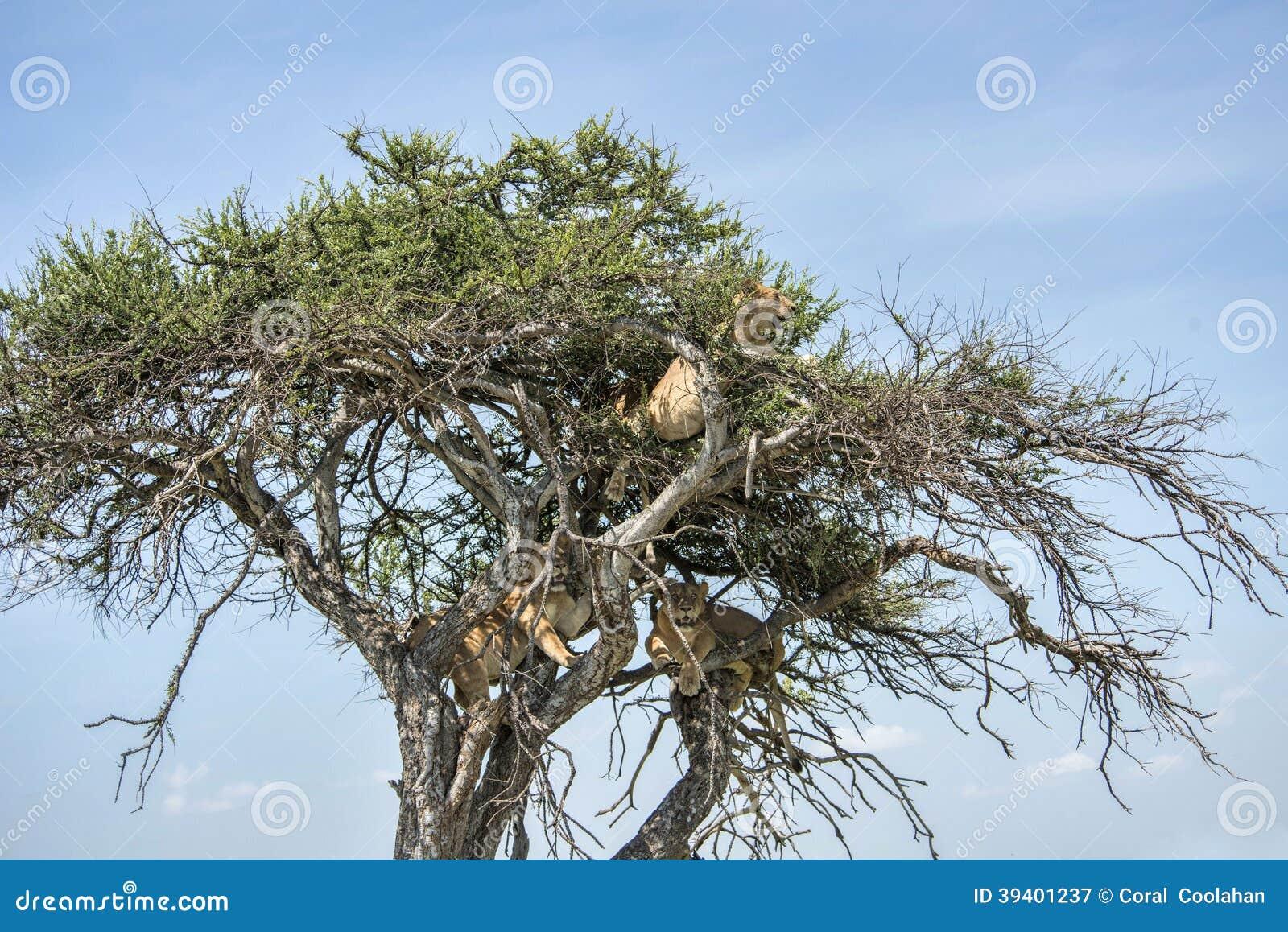 Tre Lejon I Ett Träd Arkivfoto Bild 39401237
