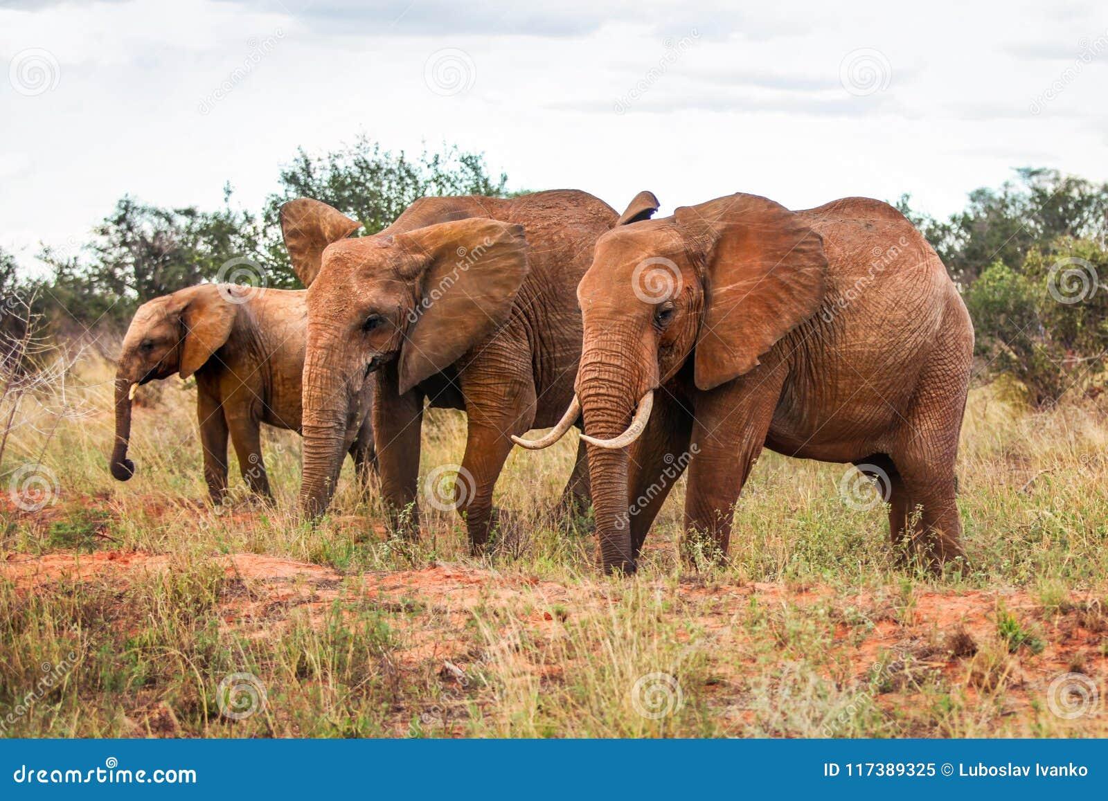 Tre loxodonta africana africani degli elefanti del cespuglio, camminanti sul sa