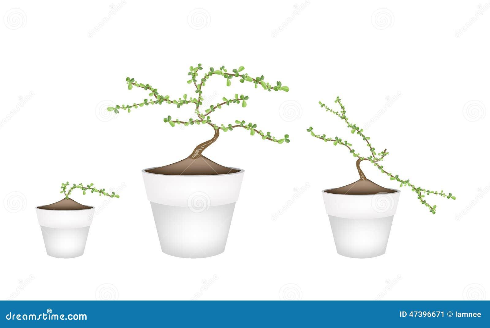 Tre masam bonsai in vasi da fiori ceramici illustrazione for Vasi per bonsai prezzi