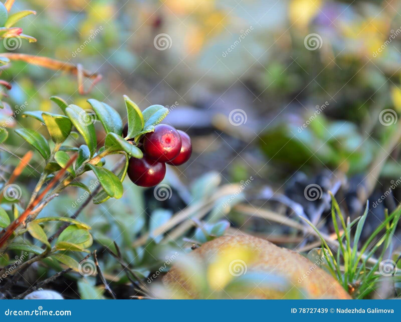 Tre mogna bär av en tranbär på en Bush