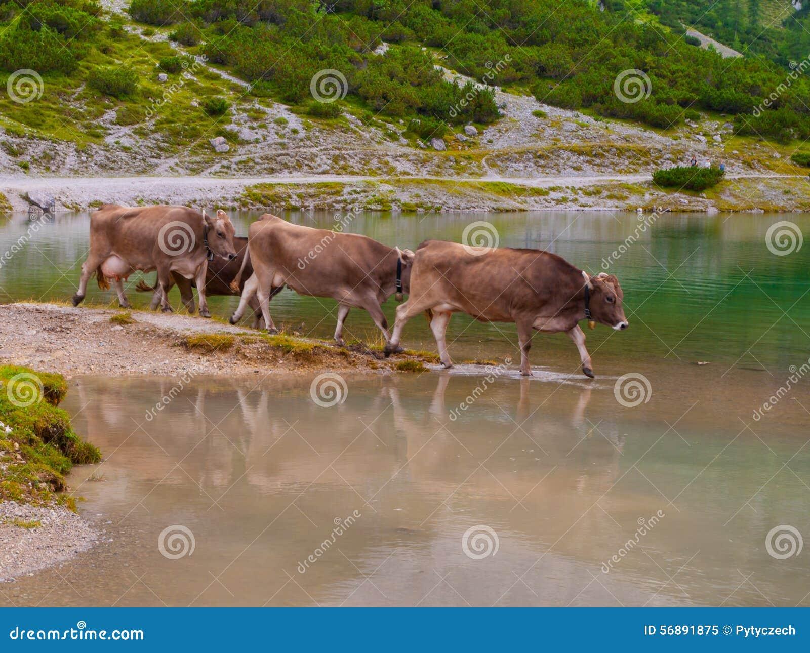 Tre mucche alpine che stanno nel lago