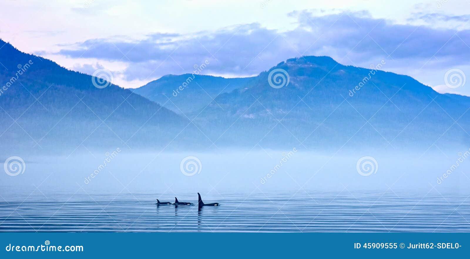 Tre orche nel paesaggio della montagna all isola di Vancouver