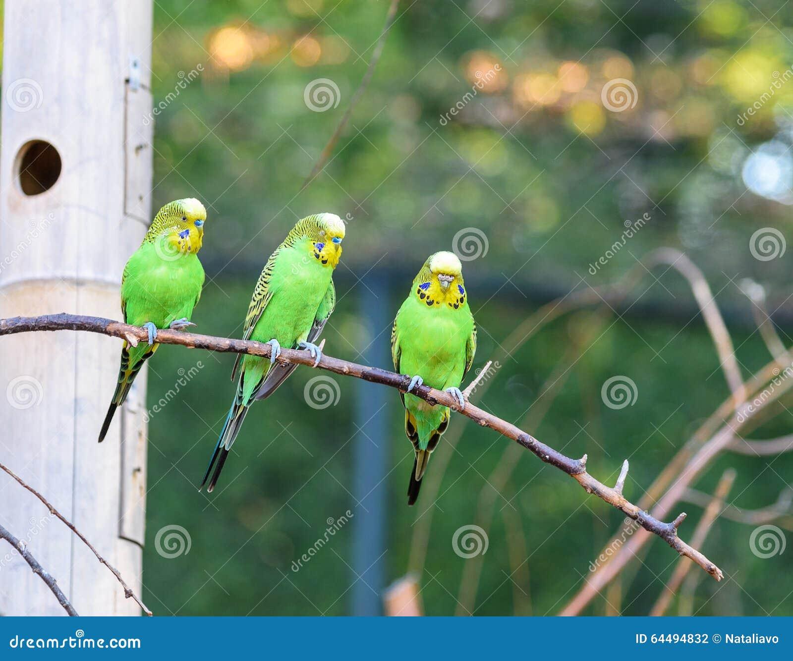 Tre pappagallini ondulati di colorazione naturale sta - Colorazione immagine di un cane ...