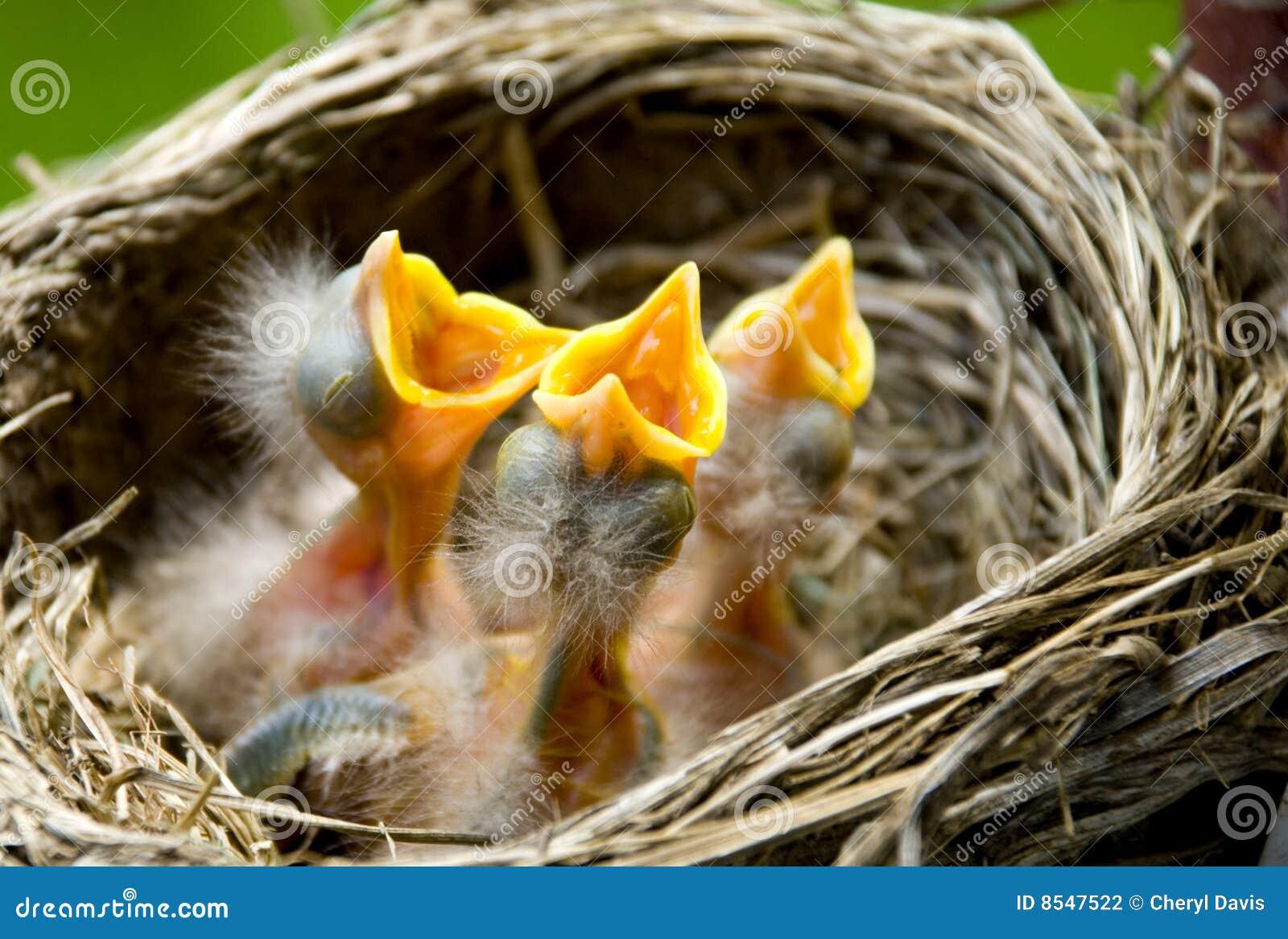 Tre pettiross del bambino in un nido