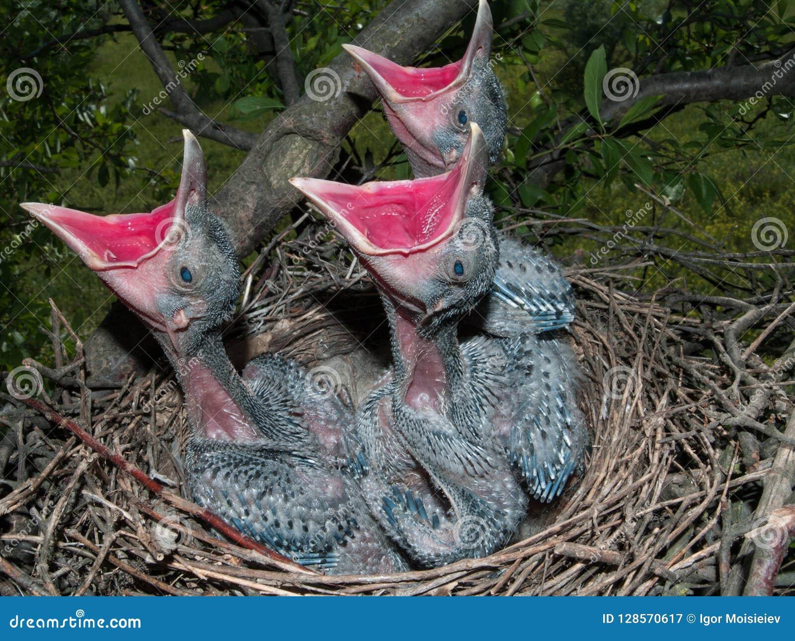 Tre pulcini affamati in nido