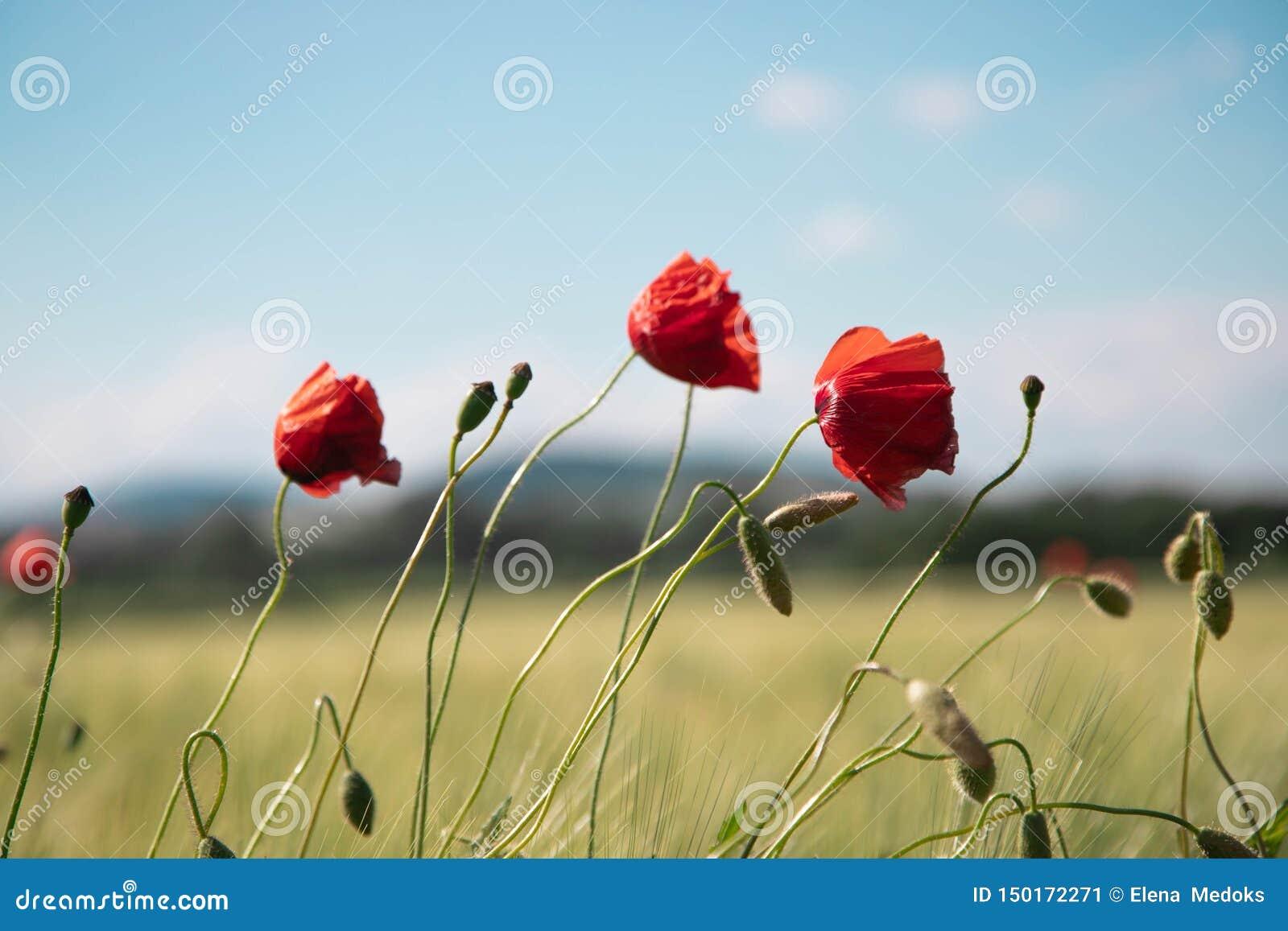 Tre röda vallmoblommor med tunna ben, små stjälk mot bakgrunden av klar blå vårhimmel