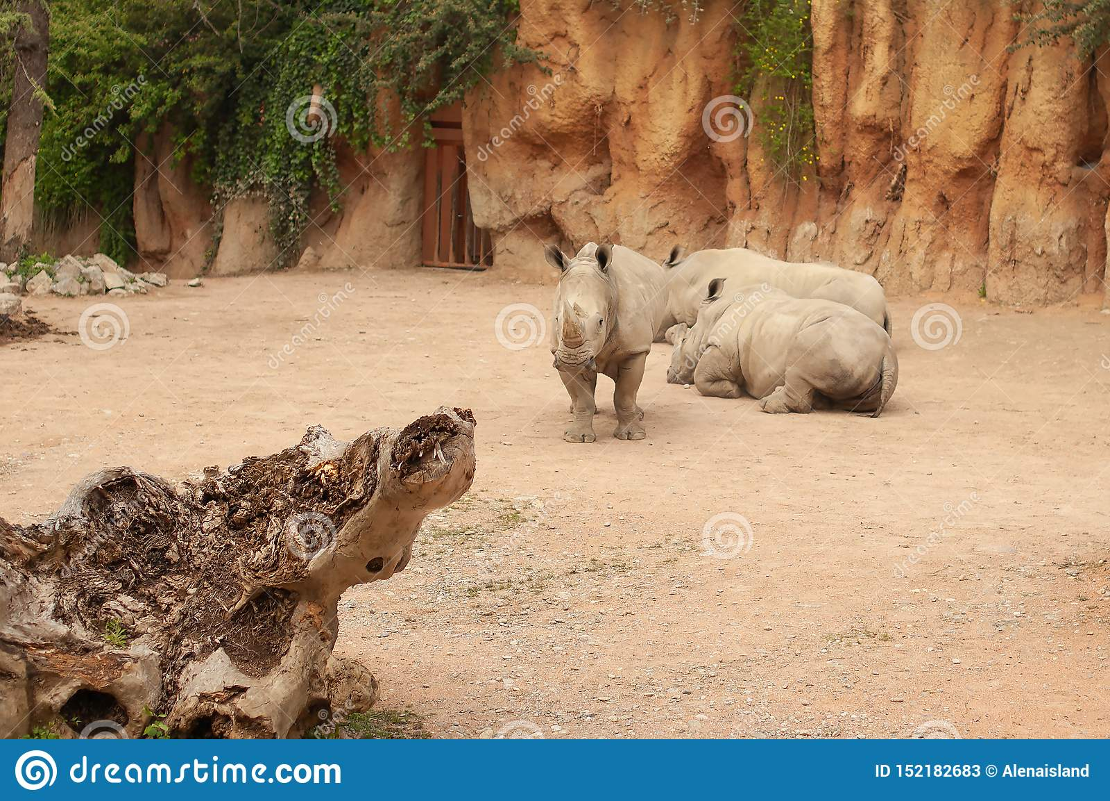 Tre Rhinos i zooen Noshörninganseende som är främst av två liggande noshörningar dag