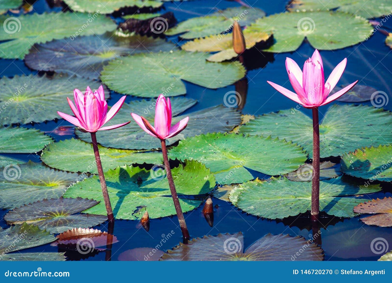 Tre rosa bloosomblommor på ett damm