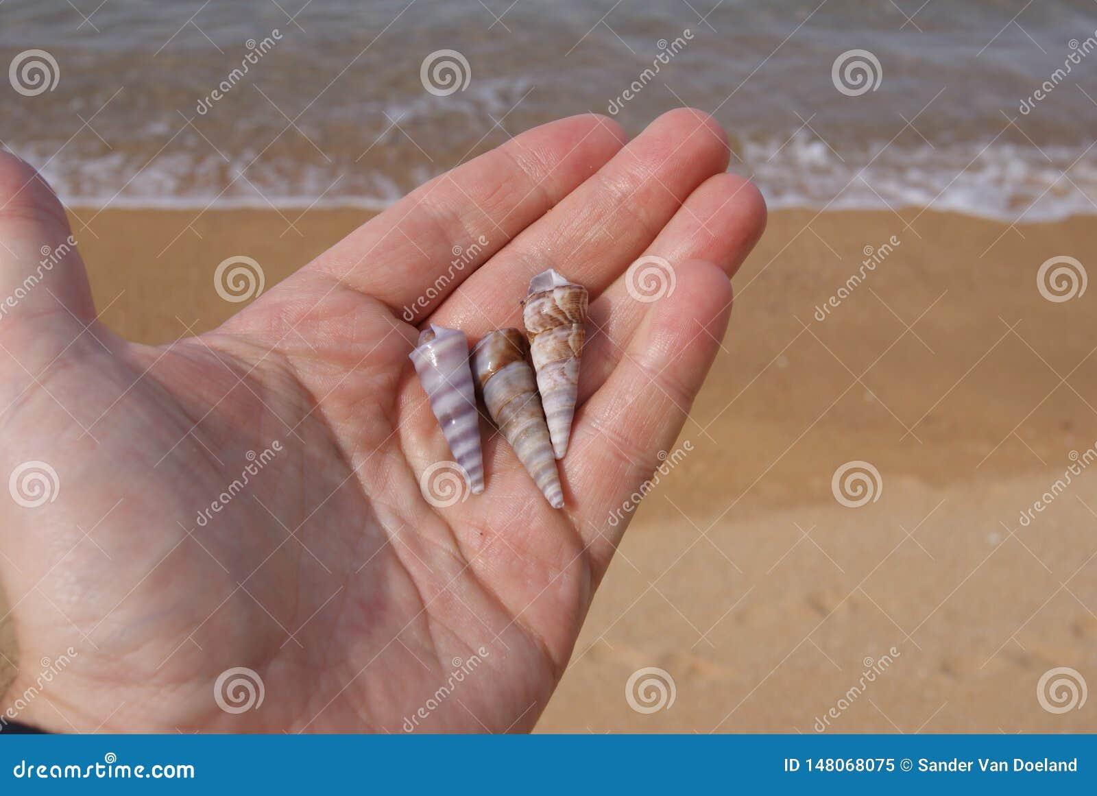 Tre snäckskal i hand på stranden