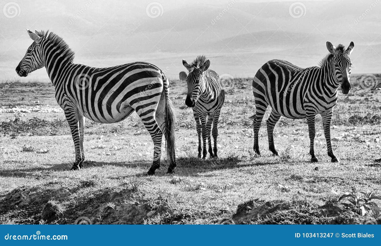 Tre svartvita sebror - familj