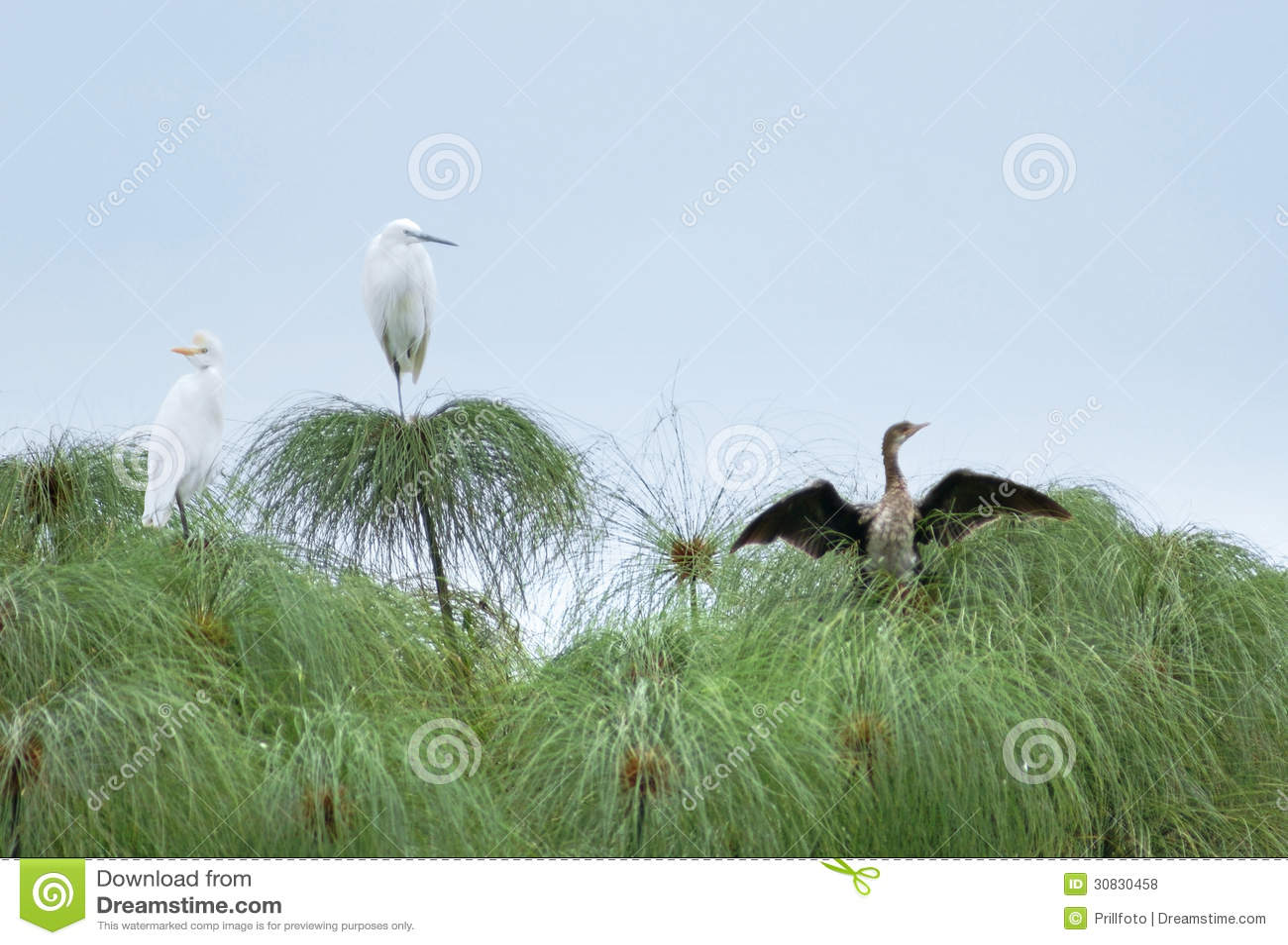 Tre uccelli sulle piante del papiro