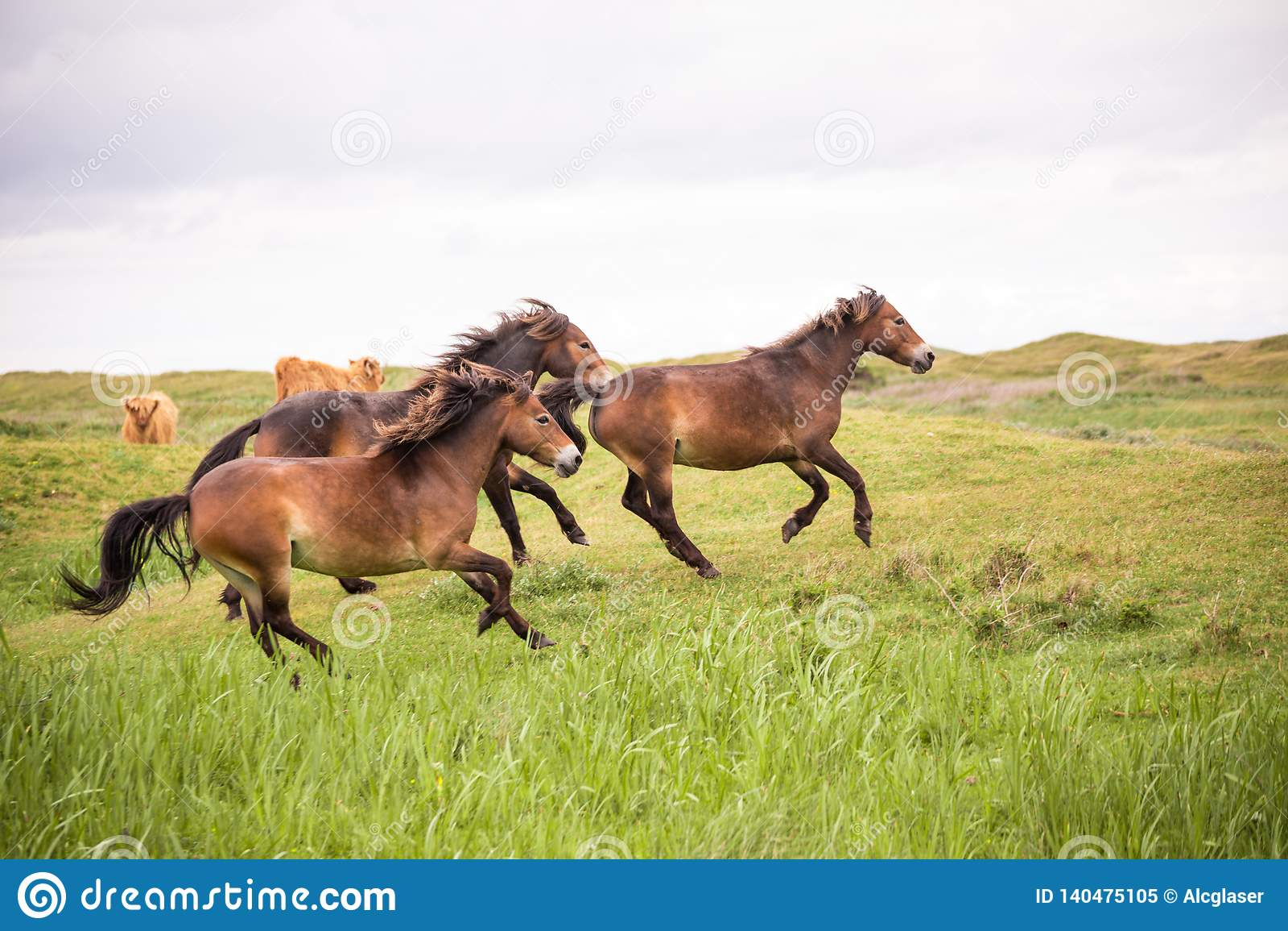 Tre vildhästar som kör på den holländska ön av texel