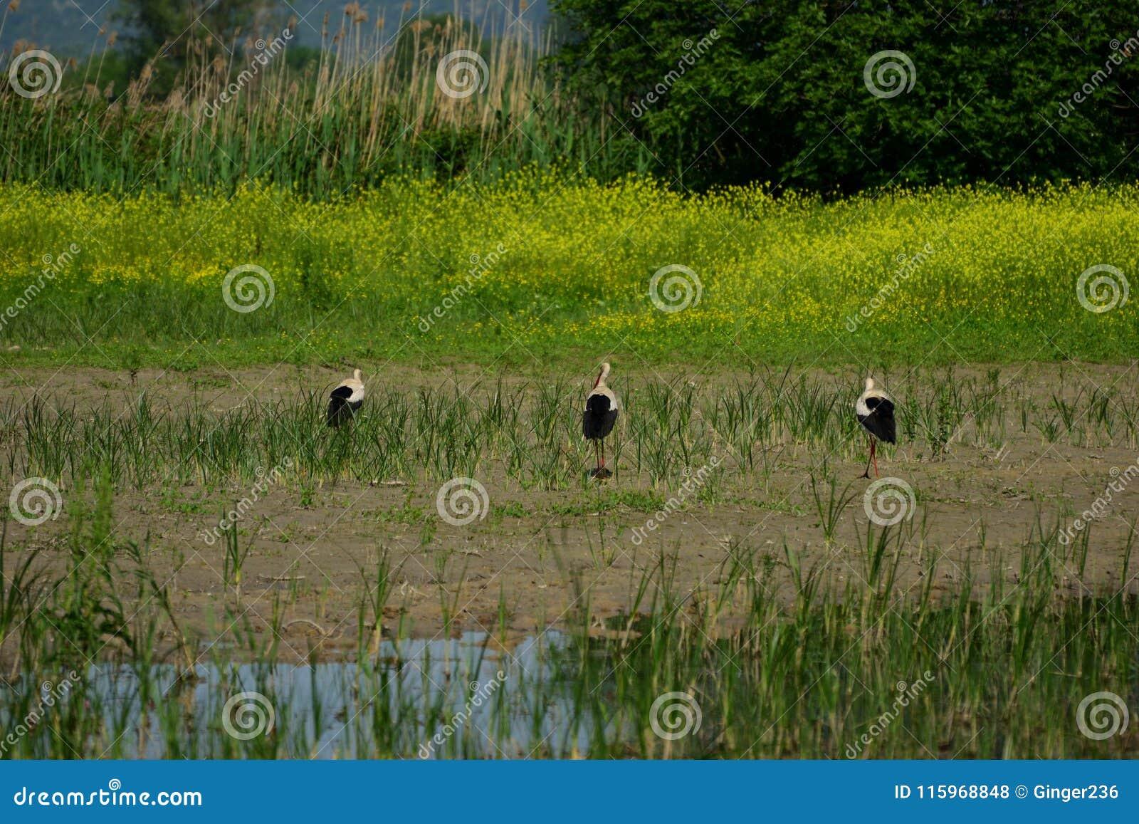 Tre vita storkar på den Hutovo Blato fågelreserven