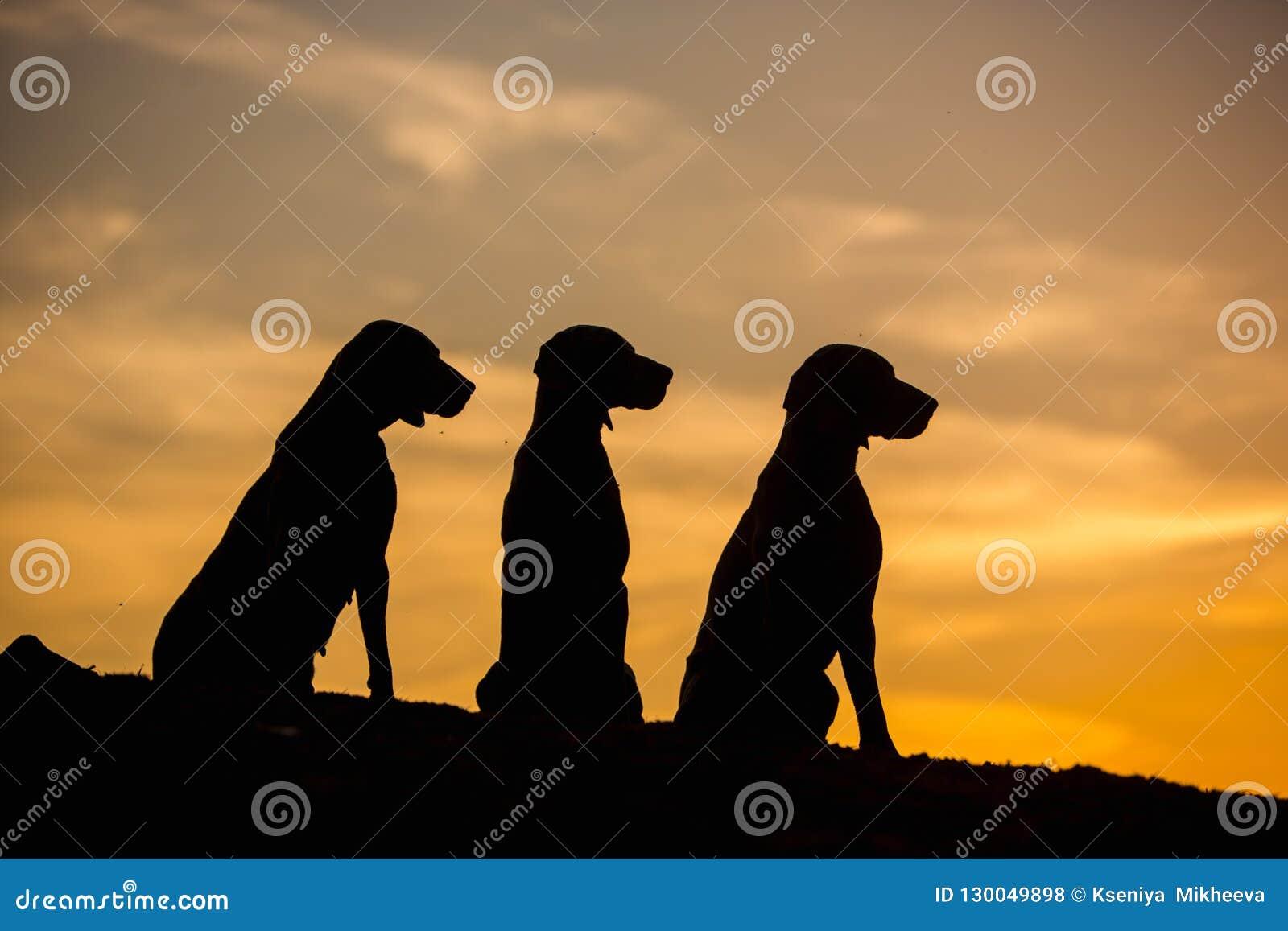 Tre Weimaraner hundkapplöpning sitter i gul bakgrund för natur på solnedgångkonturer