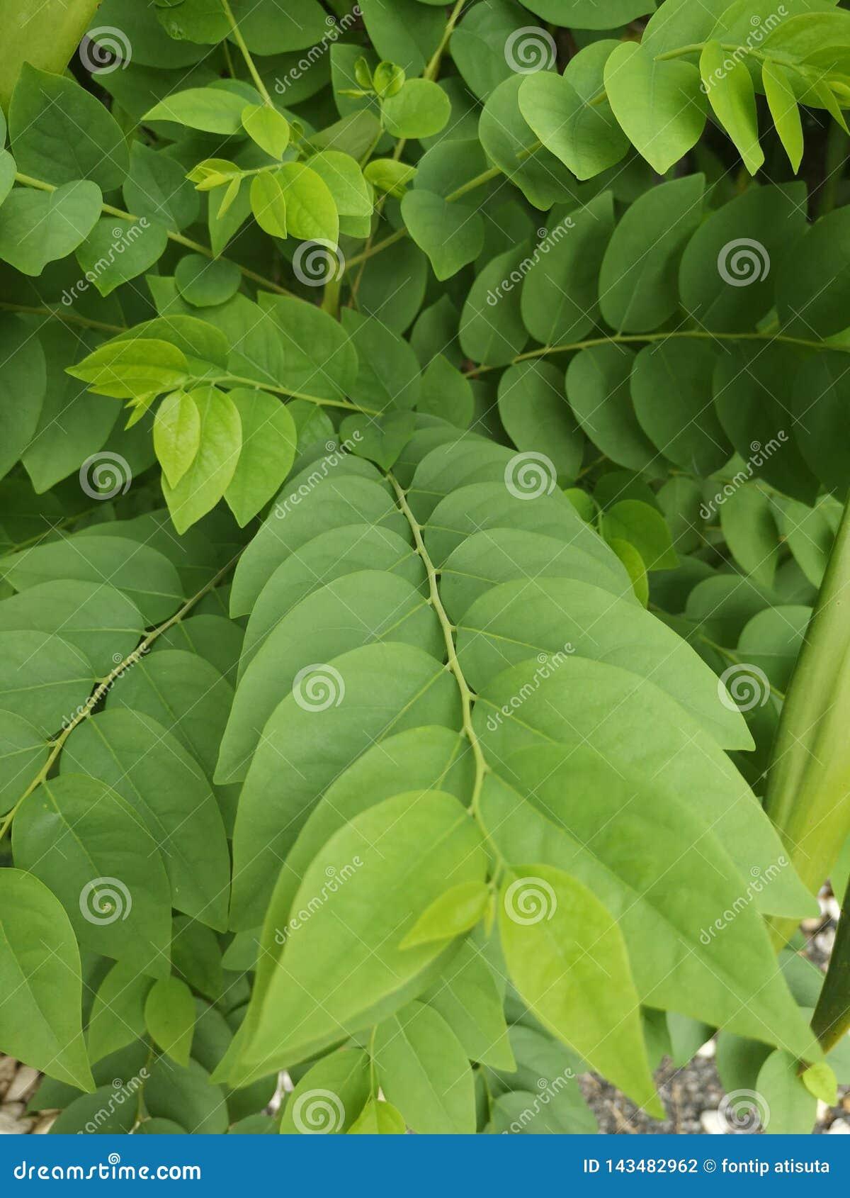 Tree of Star gooseberry