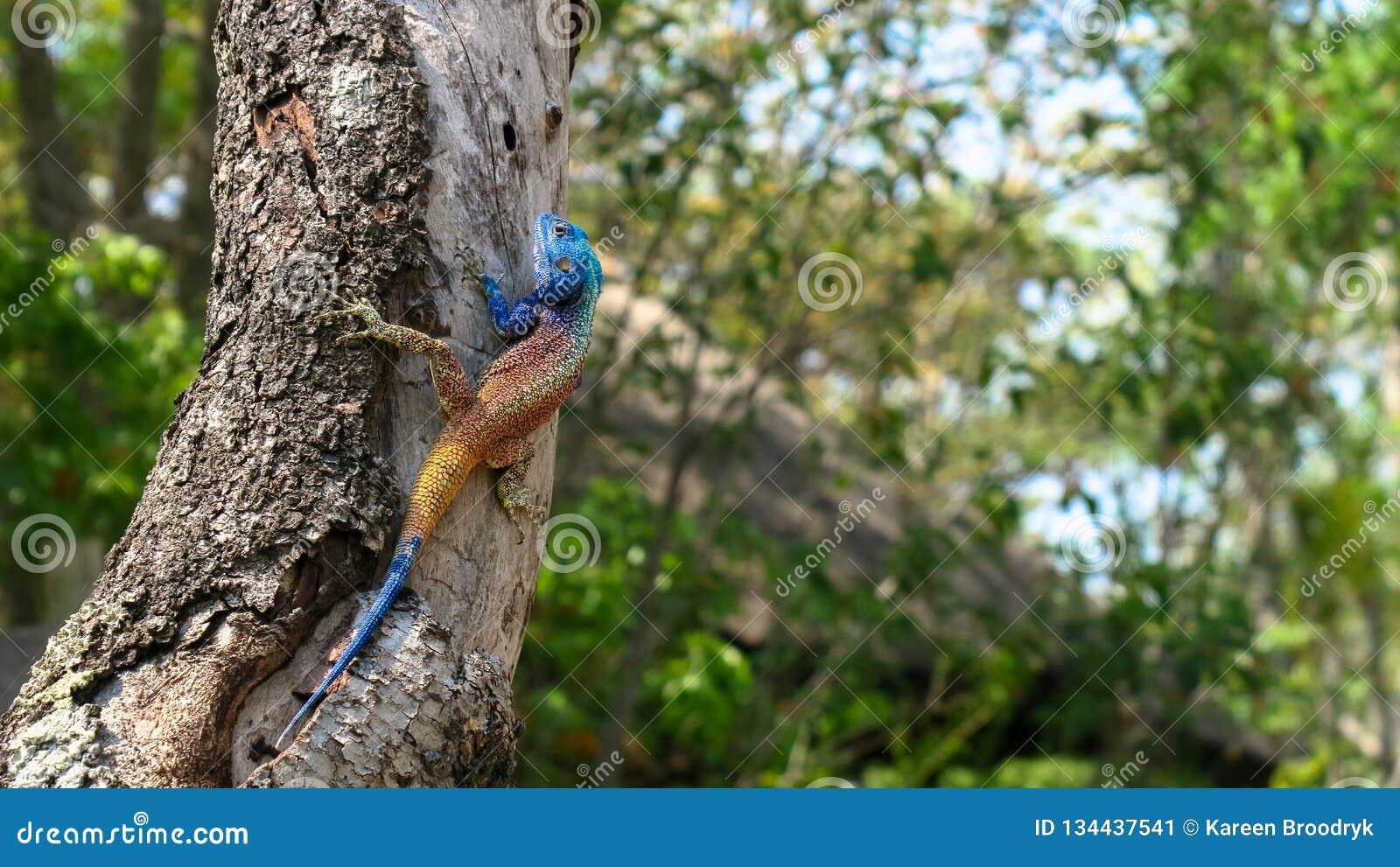 Tree Agama - acanthocerus atricollis
