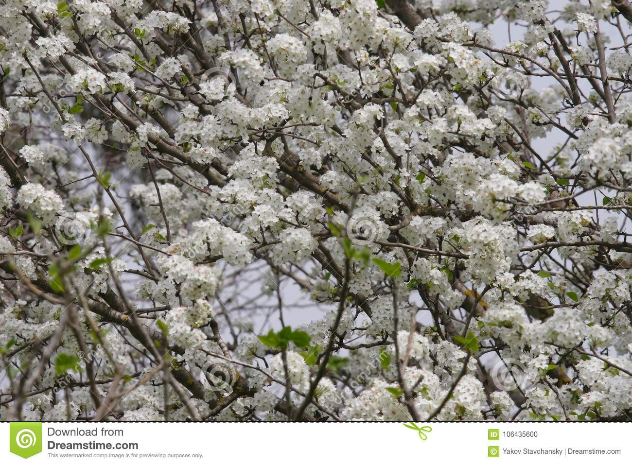 Tree blooms flowers stock photo image of glade grass 106435600 tree blooms beautiful white flowers mightylinksfo