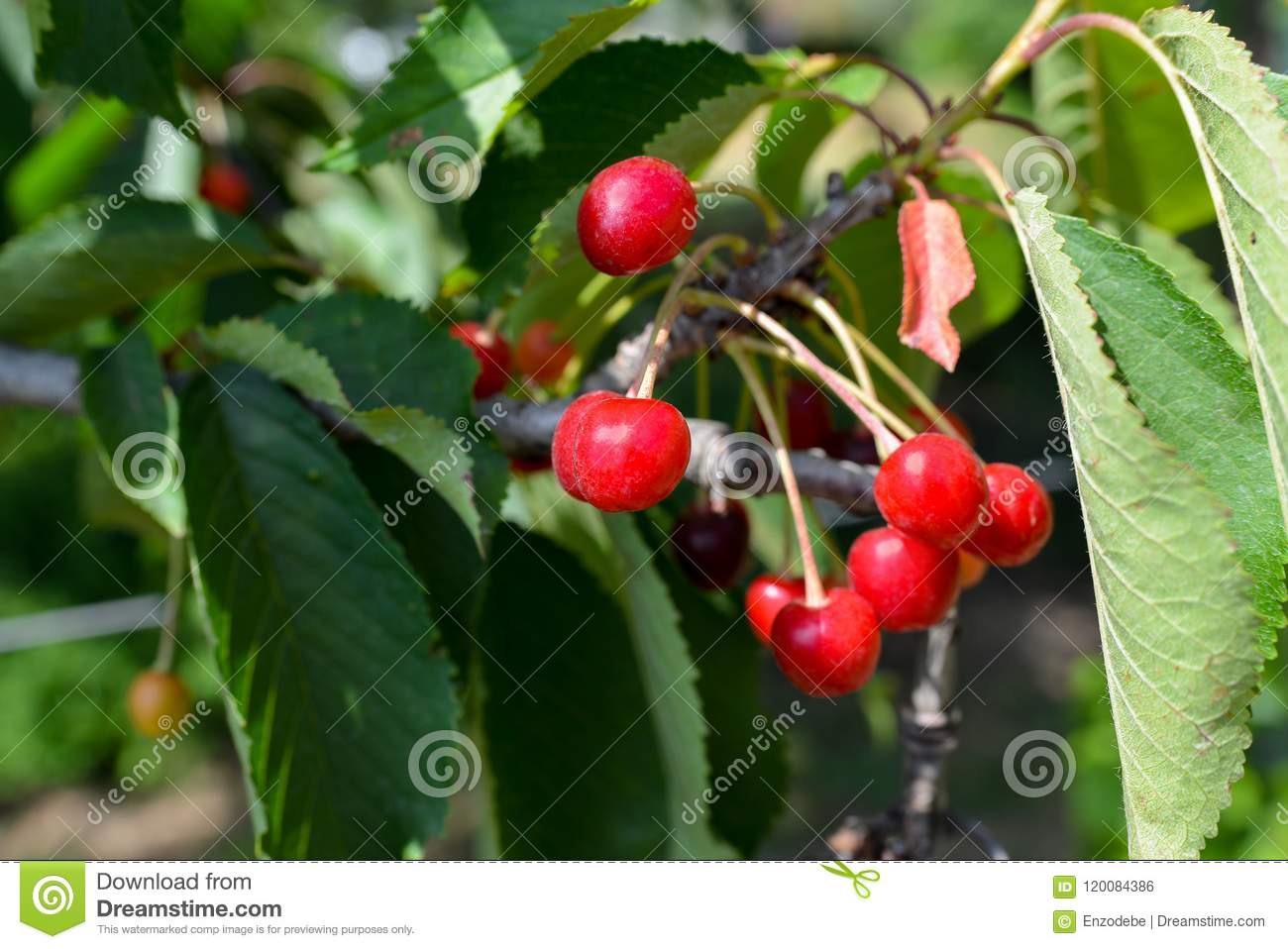 Tree Branch With Small Red Berries Stock Photo Image Of Fruits