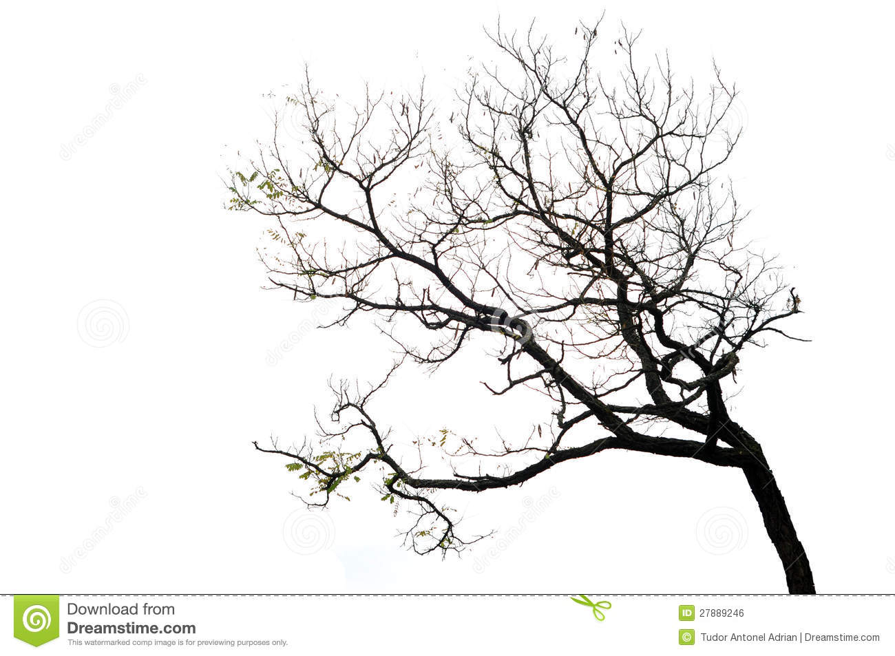 Tree Branches Isolated On The White Background Stock Photo - Image ...