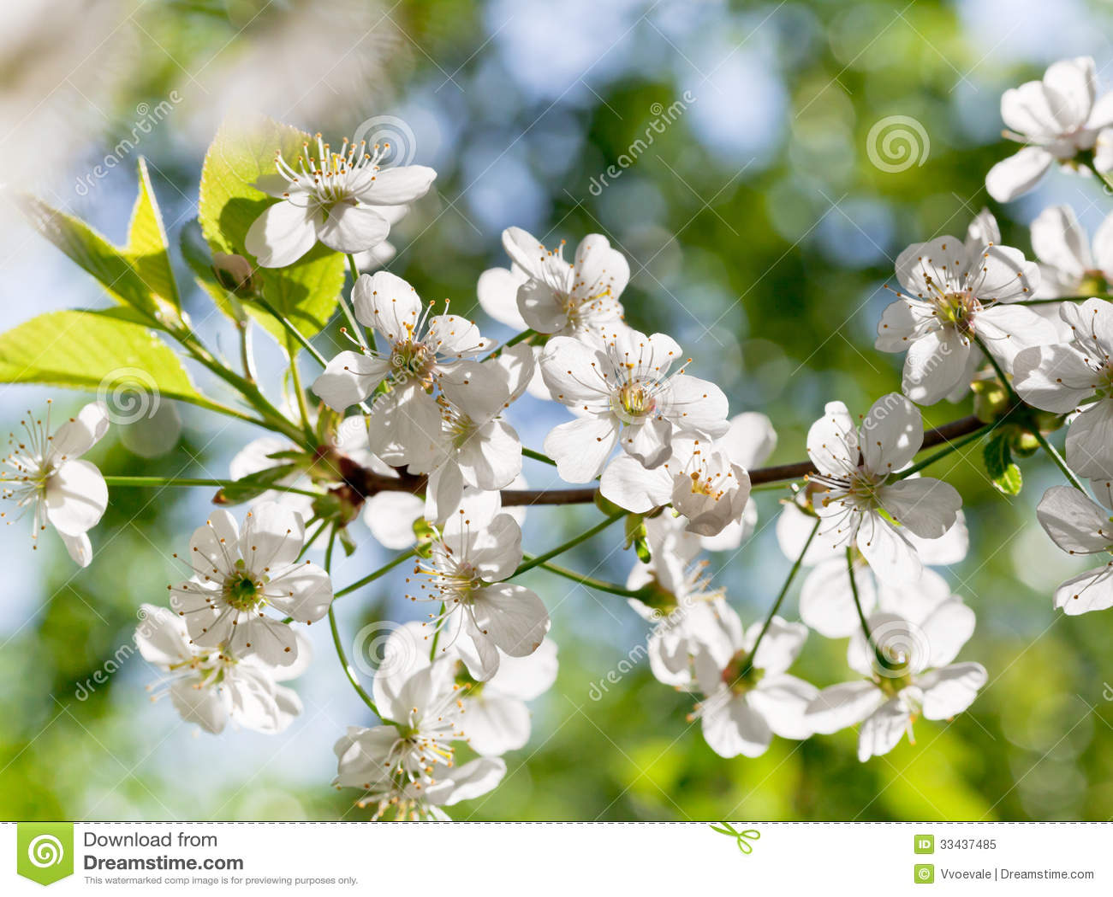 Albero Con Fiori Bianchi tree brunch with white spring blossoms stock image - image