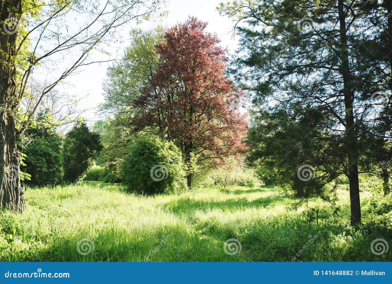 Tree With Burgundy Foliage Stock Photo Image Of Leaf 141648882