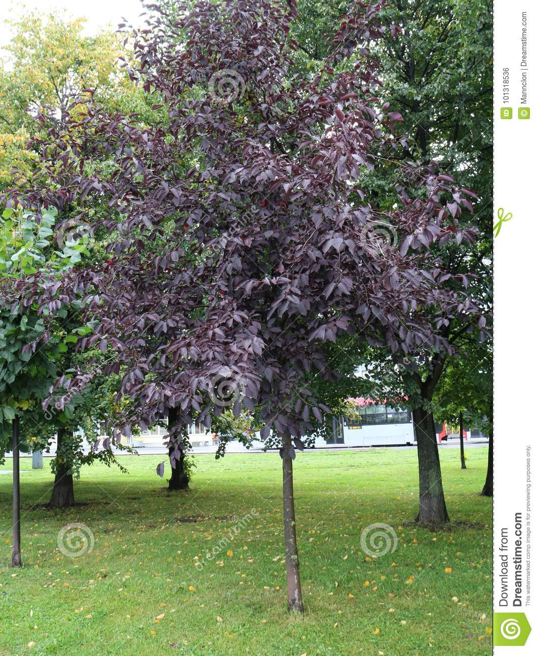 Tree With Burgundy Leaves Stock Photo Image Of Plant 101318536