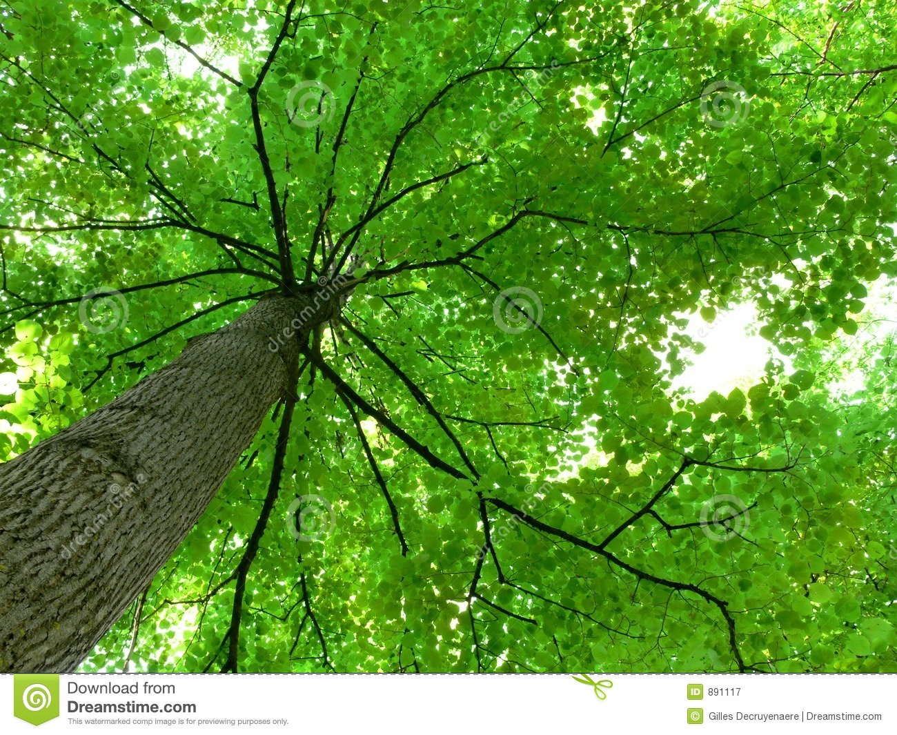Tree canopy stock image image of stem branch leaf for Canopy of trees