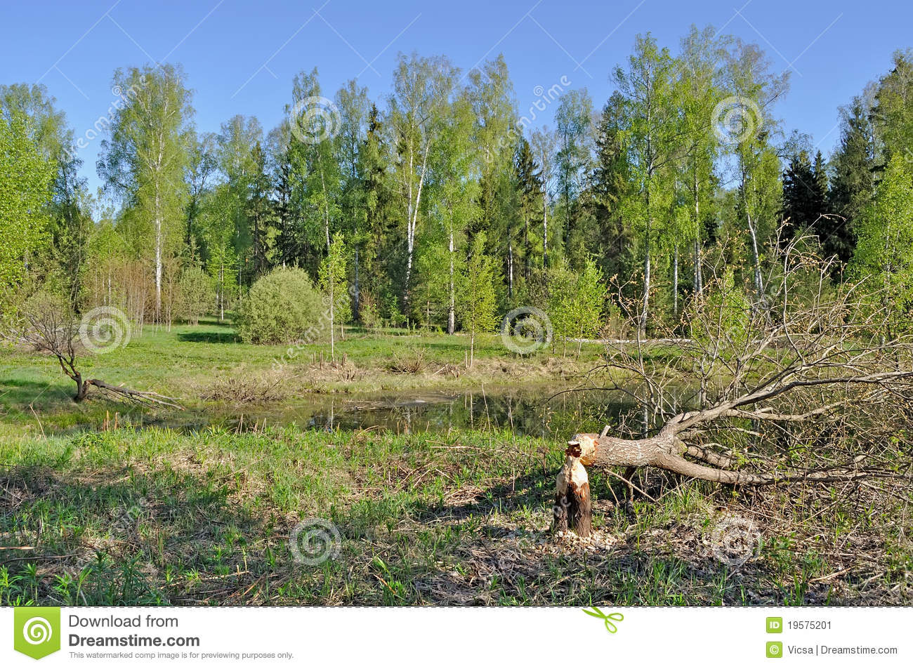 Tree cut down by a beaver