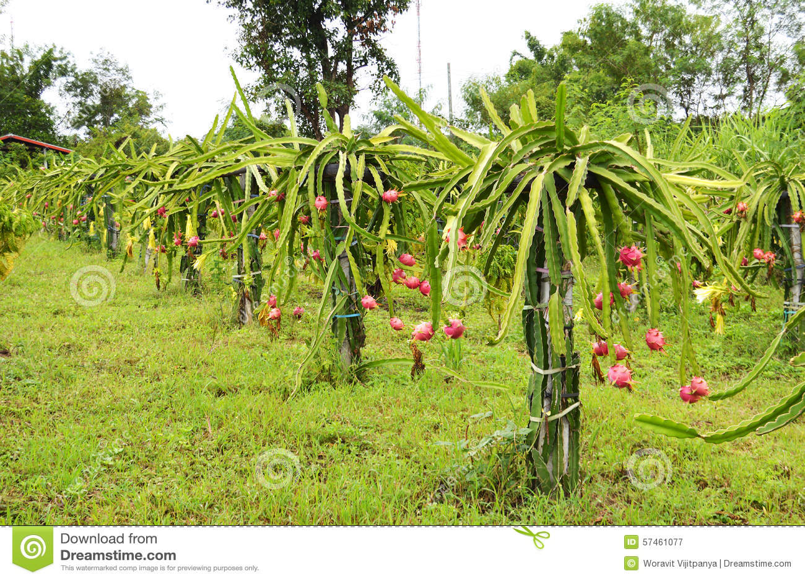 Tree Dragon fruit garden stock image. Image of garden ...