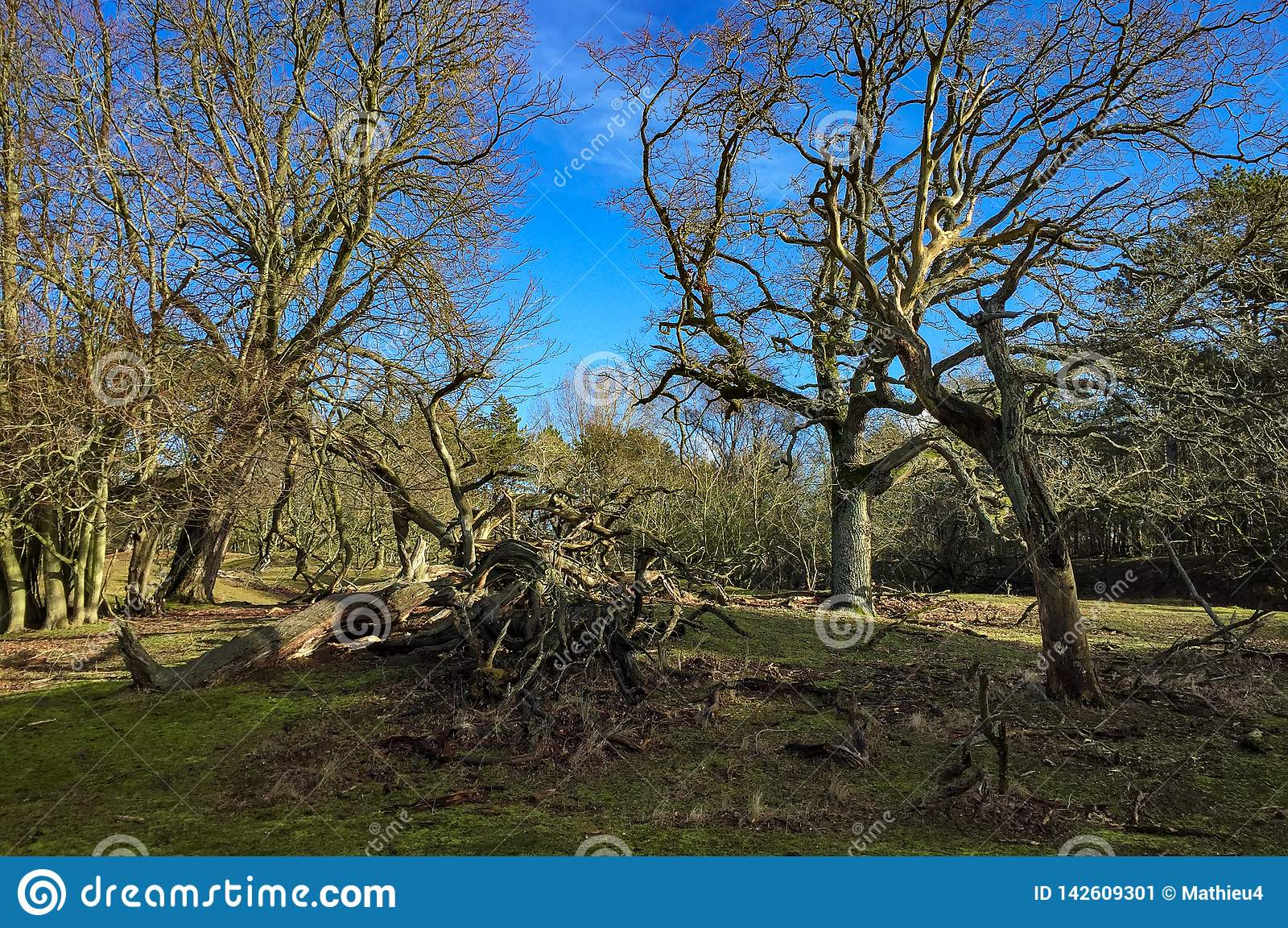 Tree in dutch forest landscape