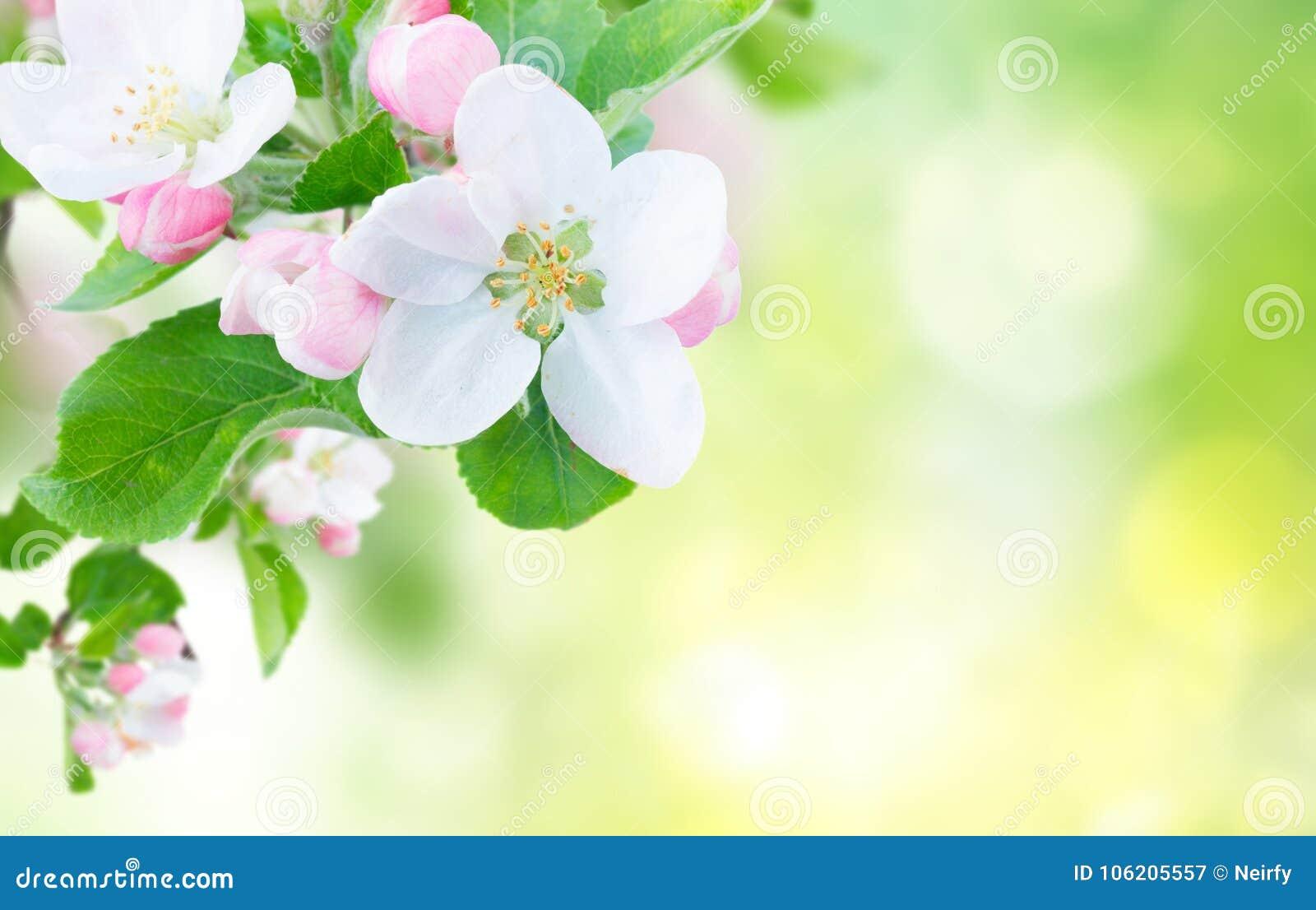 Tree för äppleblomningclose upp